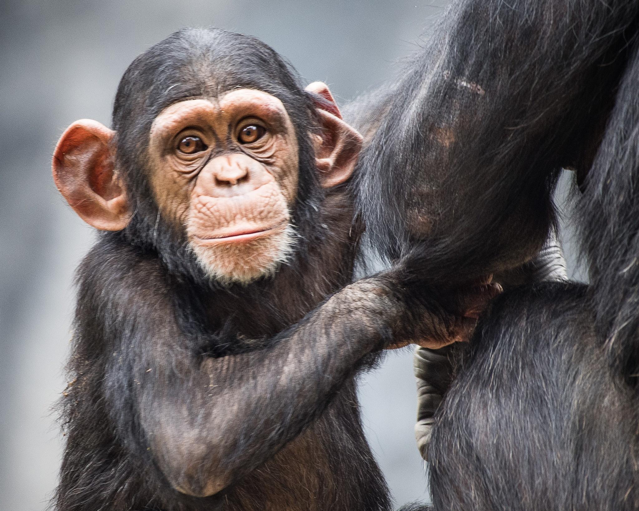 Baby Chimp by Steve Aicinena
