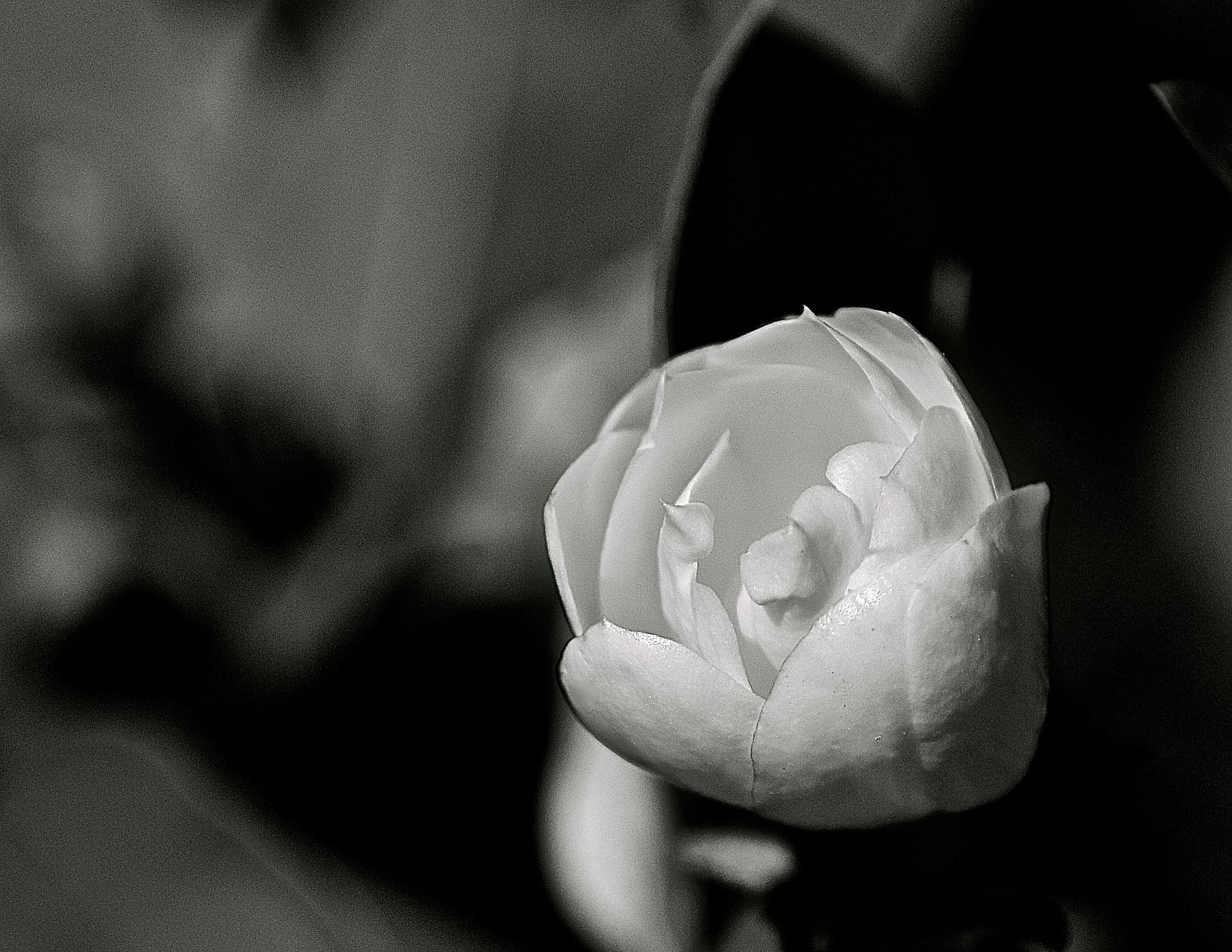 Opening Flower Black and White by Steve Aicinena