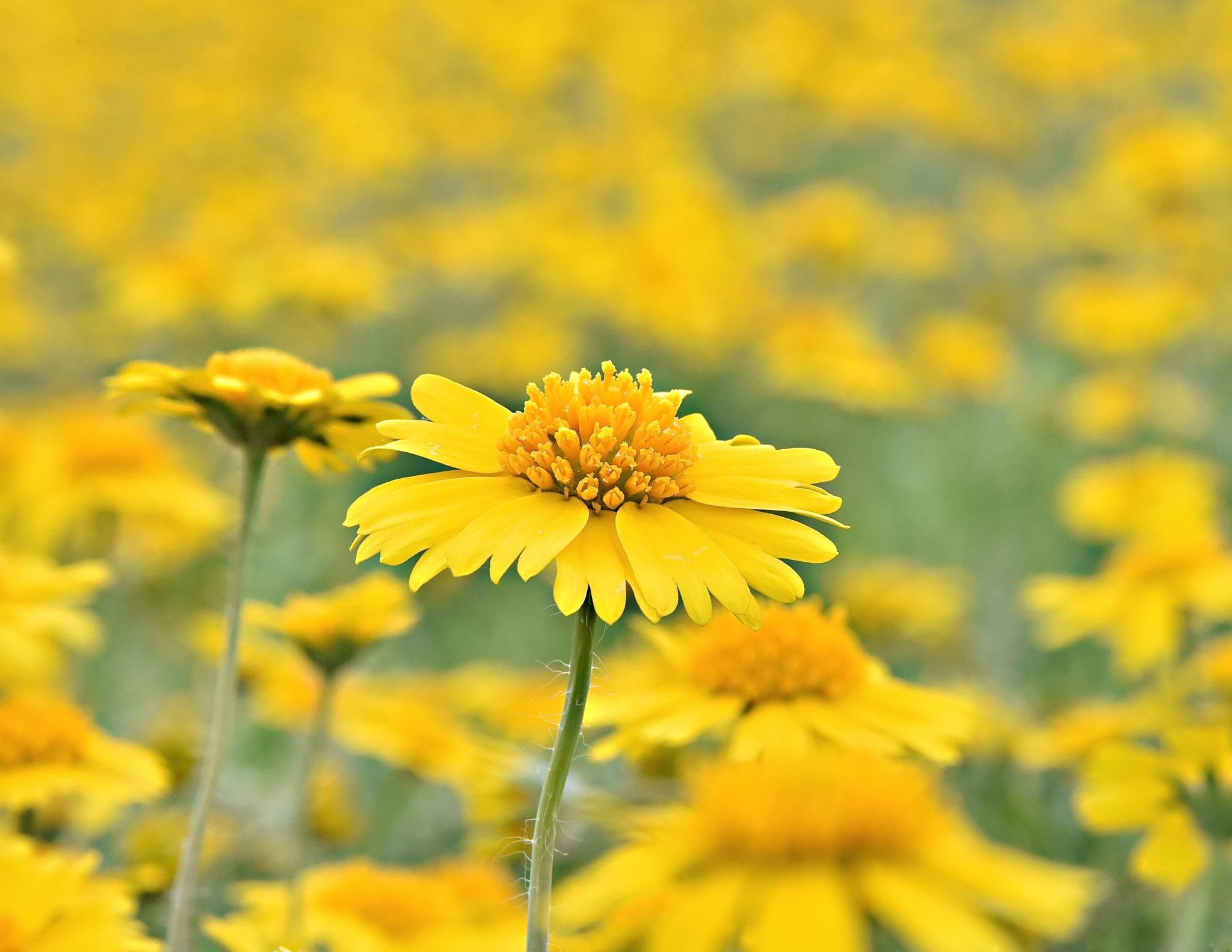 Yellow 1 by Steve Aicinena