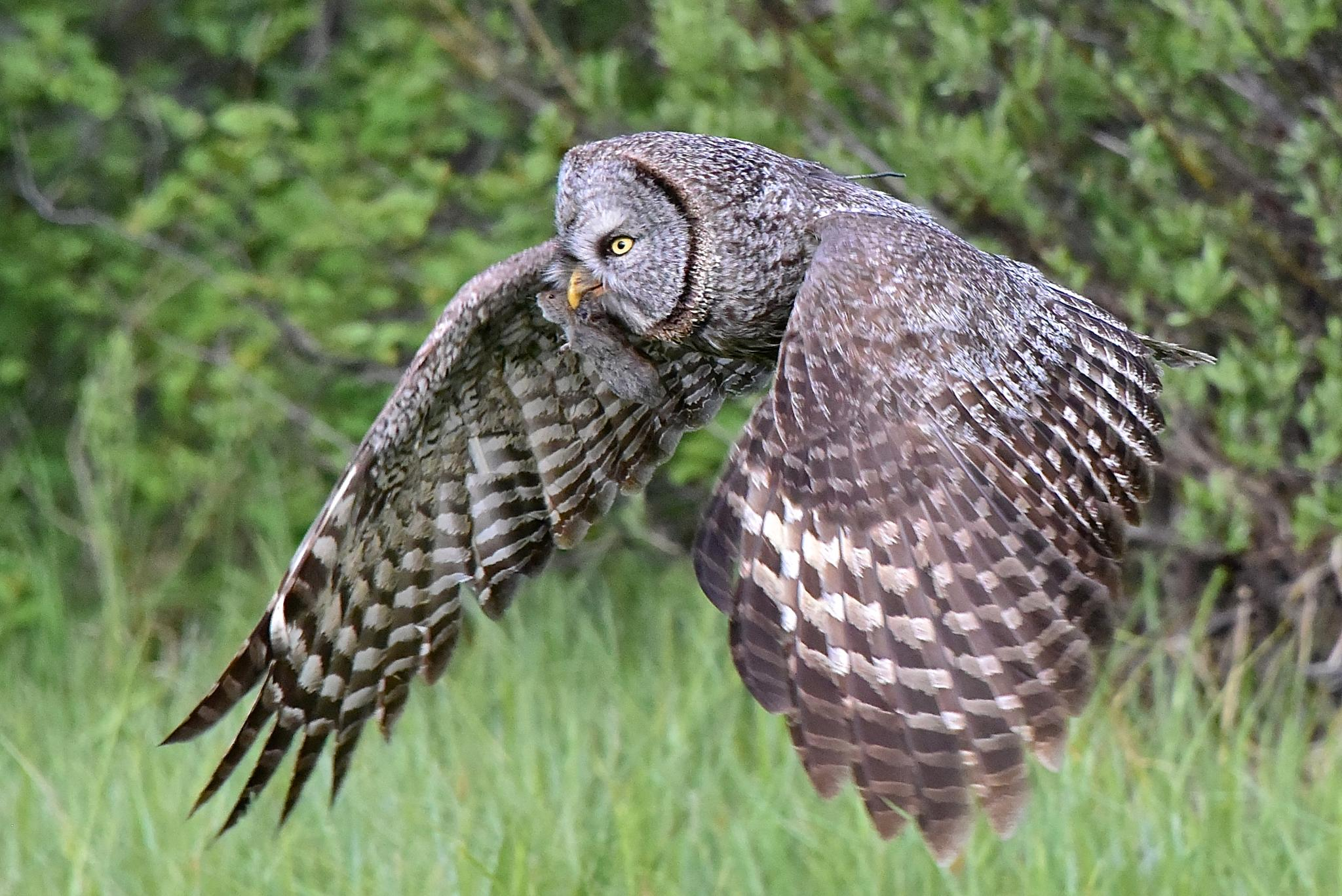 Great Gray Owl by Steve Aicinena