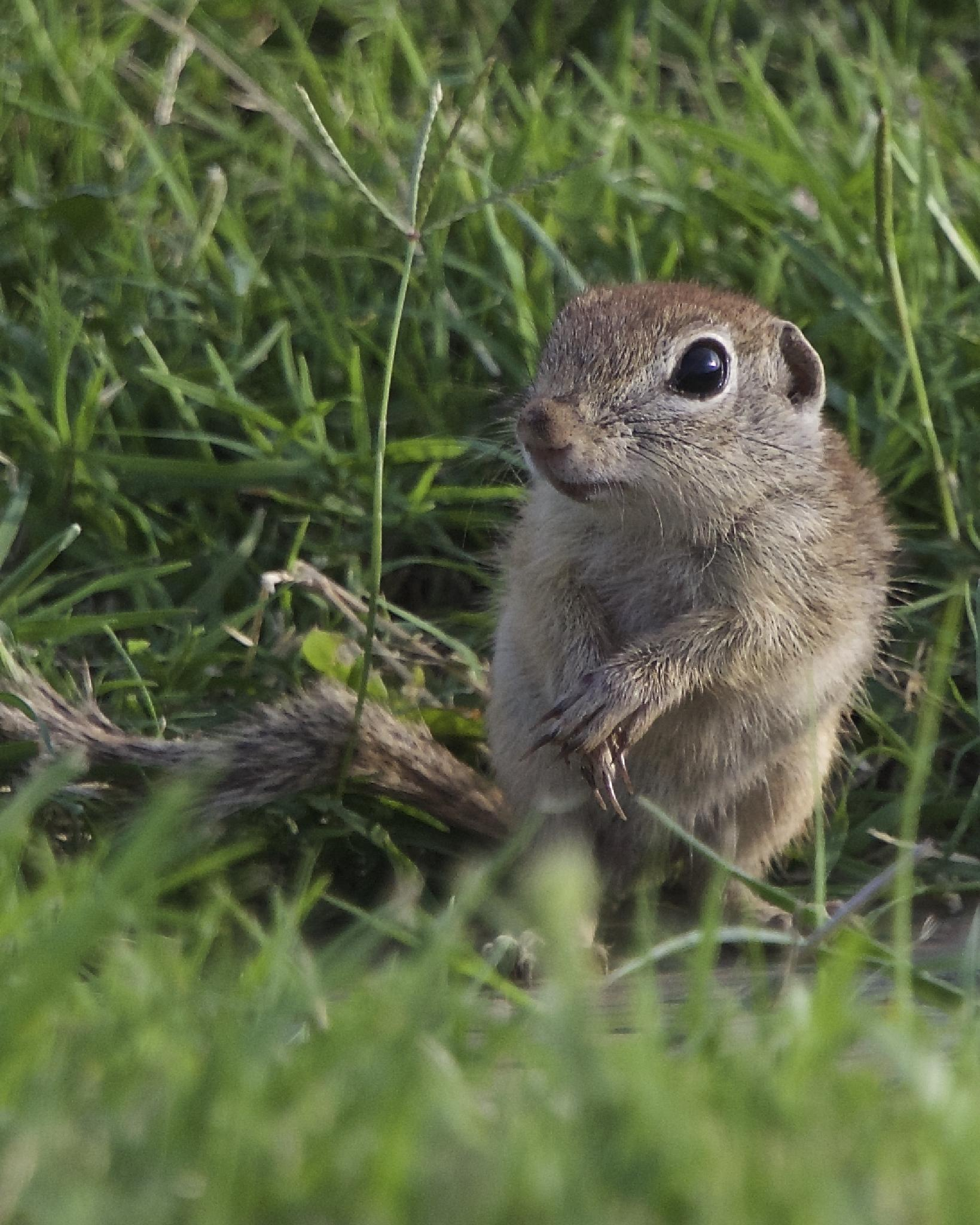 Photo in Animal #ground squirrel