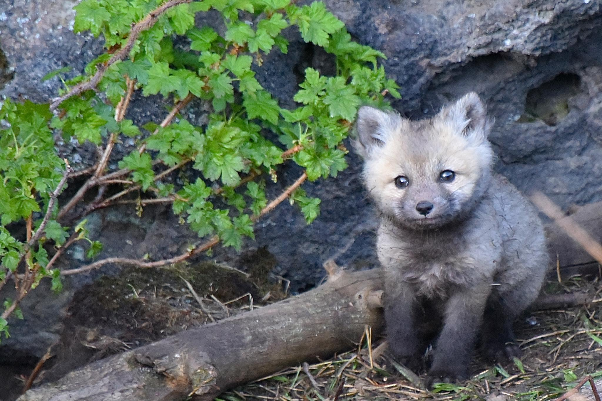 Baby Red Fox by Steve Aicinena