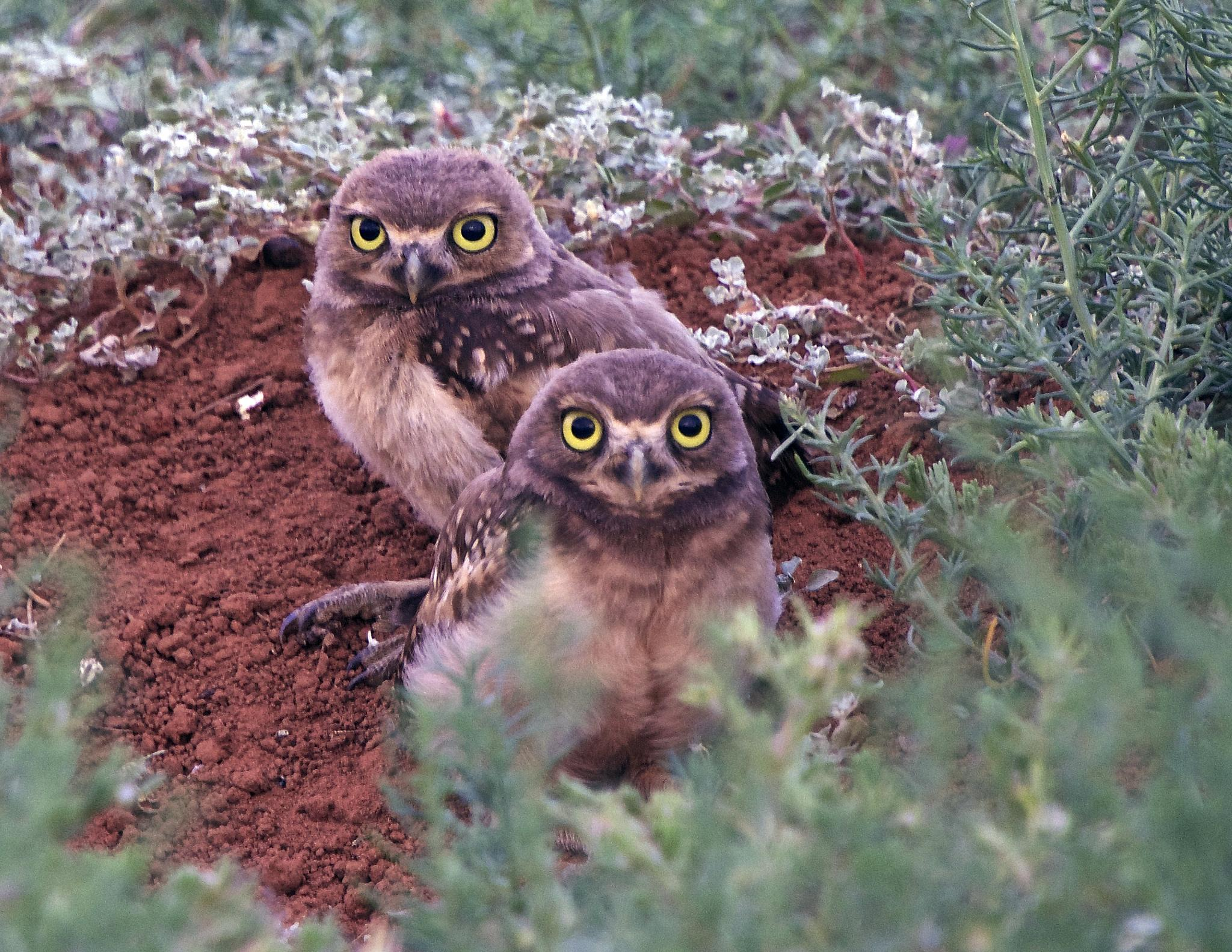Photo in Animal #burrowing owls