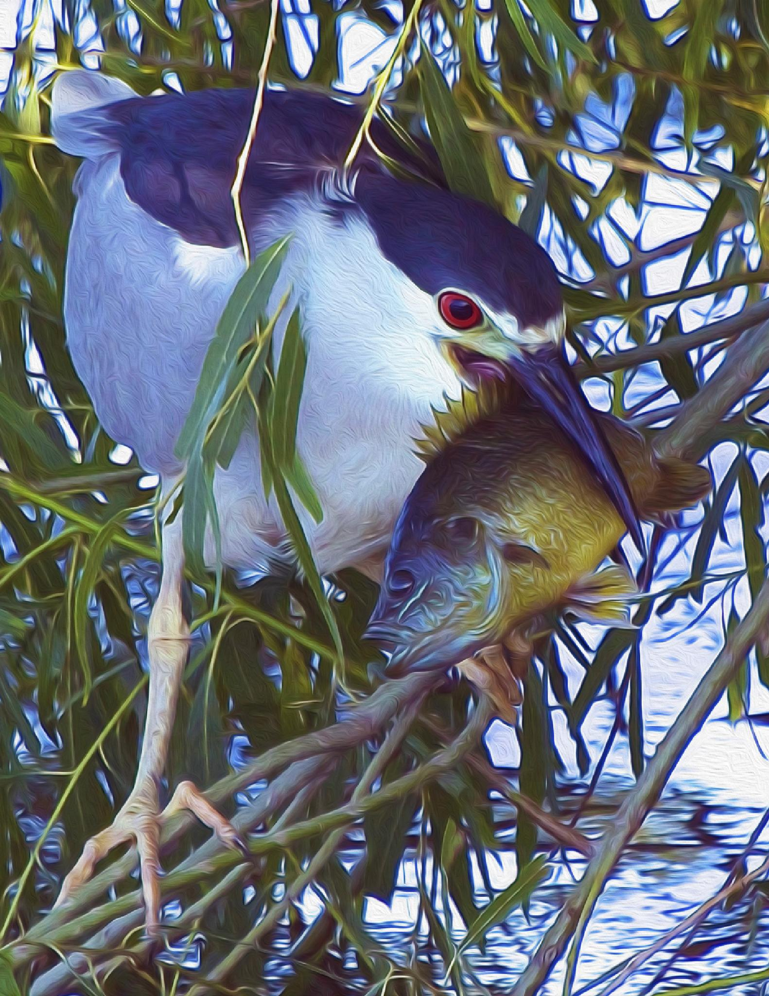 Night Heron With Meal Oil by Steve Aicinena