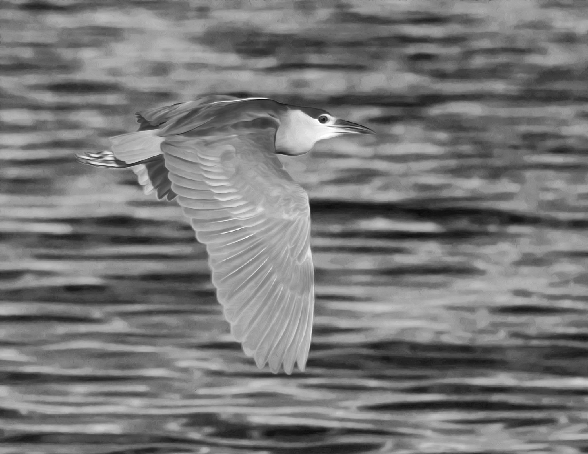 Night Crowned Heron BW by Steve Aicinena
