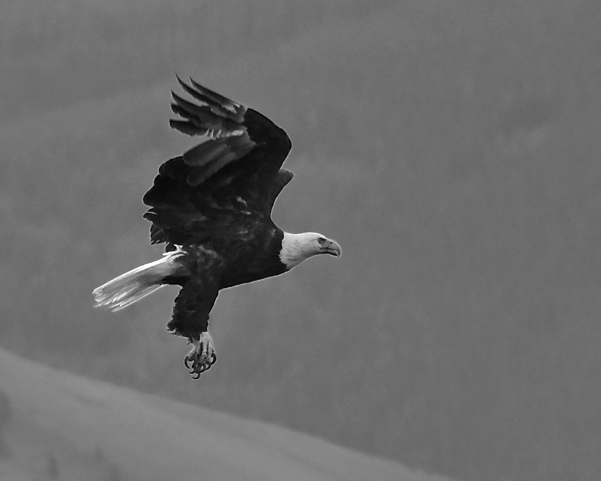Bald Eagle BW by Steve Aicinena
