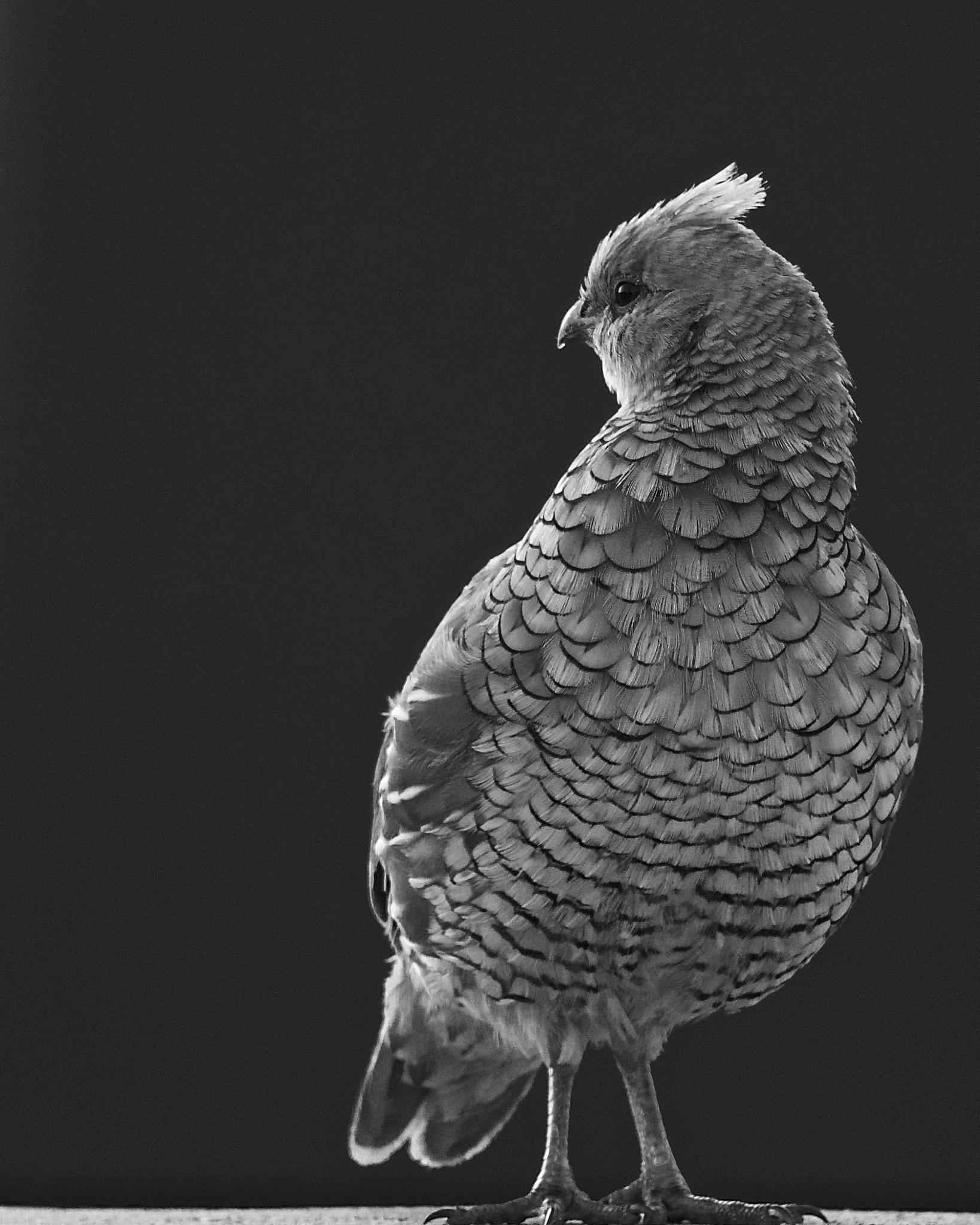 Scaled Quail BW by Steve Aicinena