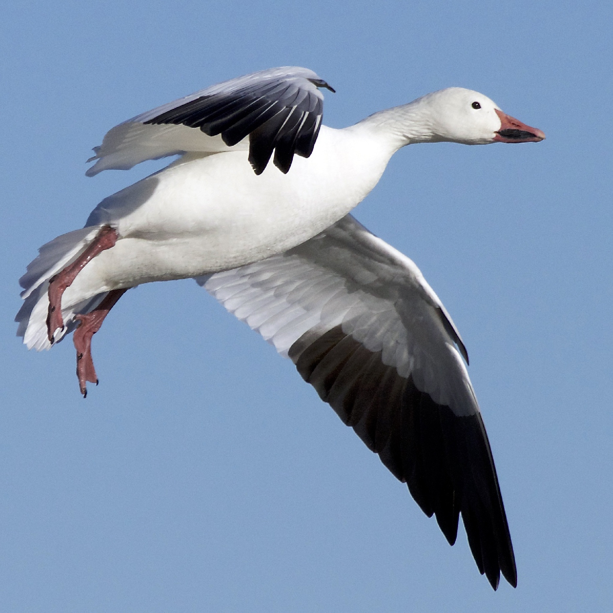 Snow Goose Preparing to Land by Steve Aicinena