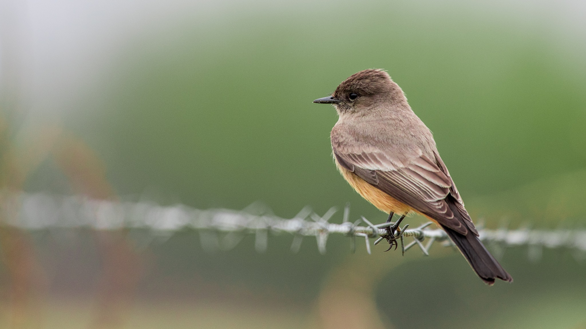 Say's Phoebe On a Wire by Steve Aicinena