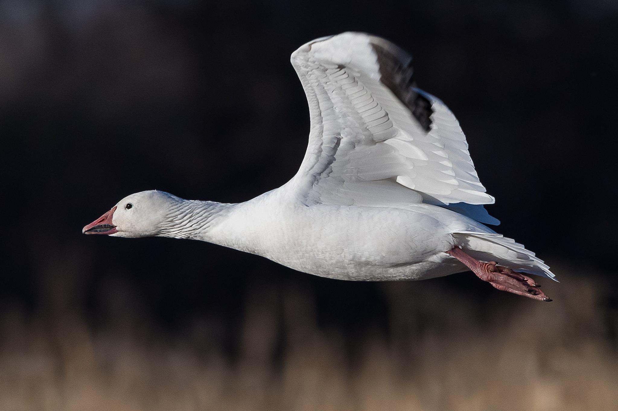 Snow Goose in Flight by Steve Aicinena