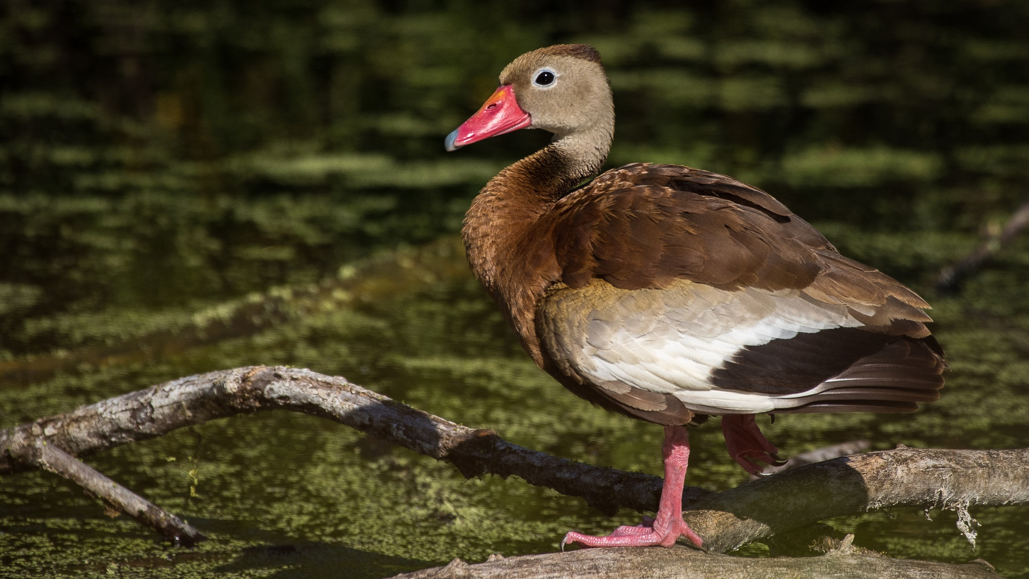 Whistling Duck by Steve Aicinena