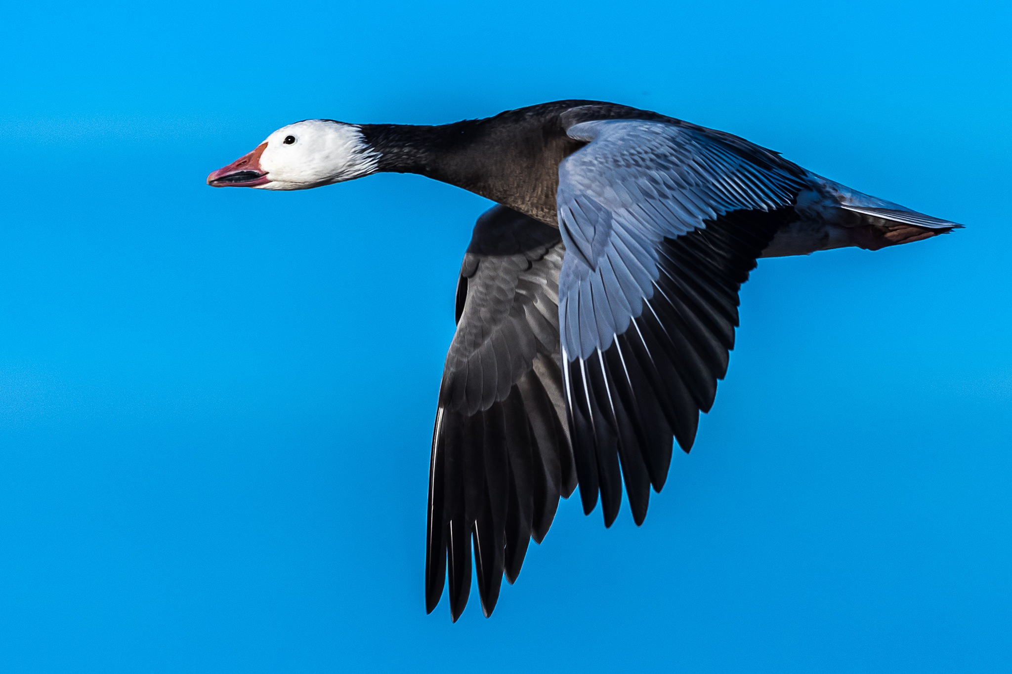 Blue Morph Snow Goose in Flight by Steve Aicinena