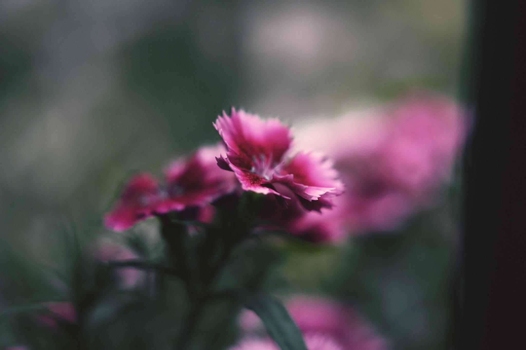 Ah...pink by Yoko D