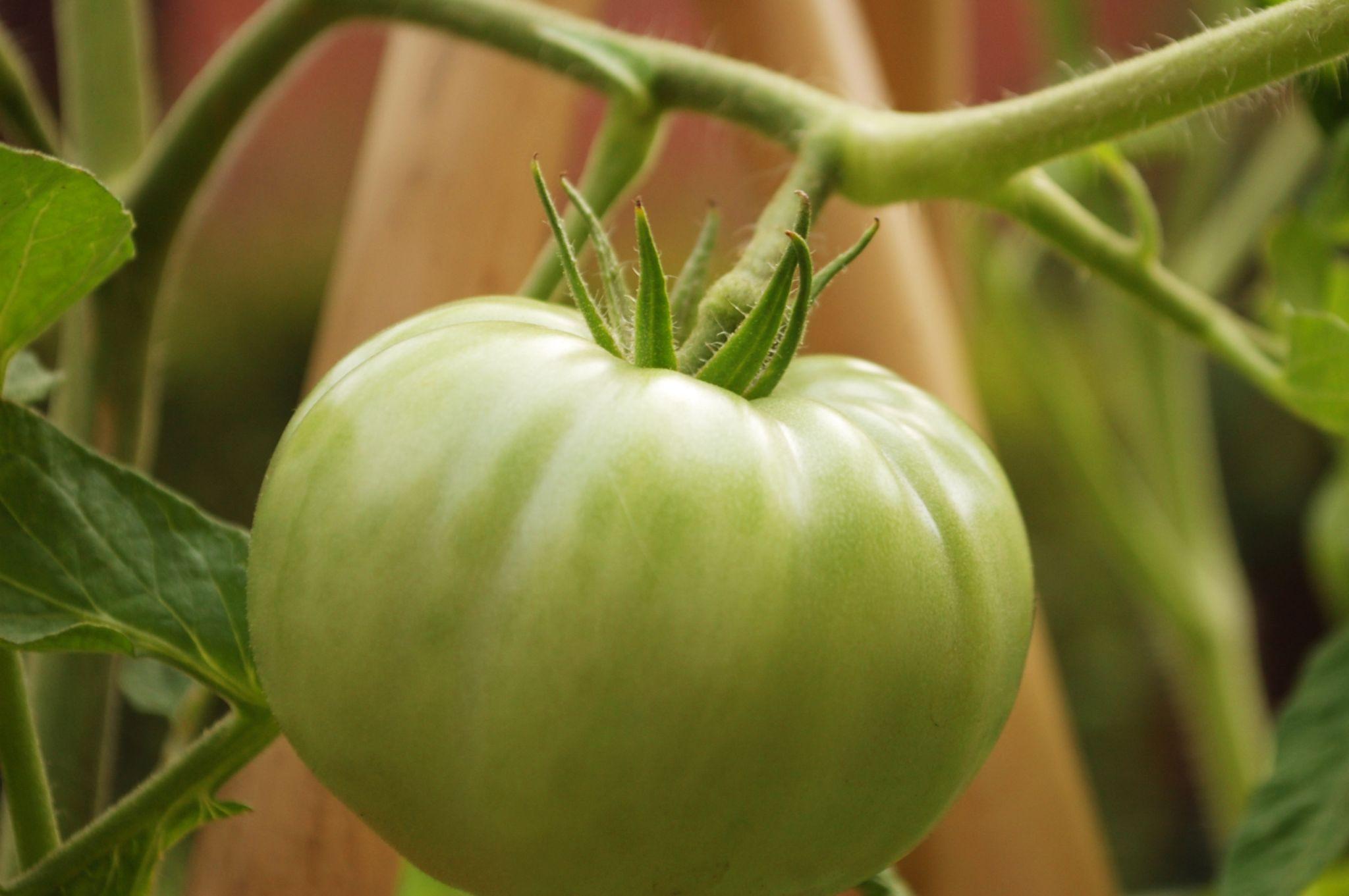 Ah...huge green tomato by Yoko D