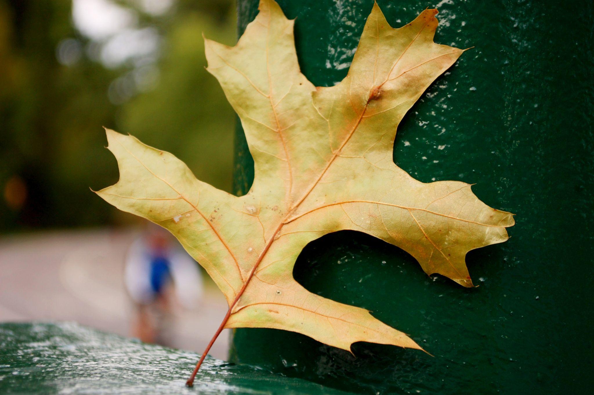 The Last Leaf by Yoko D