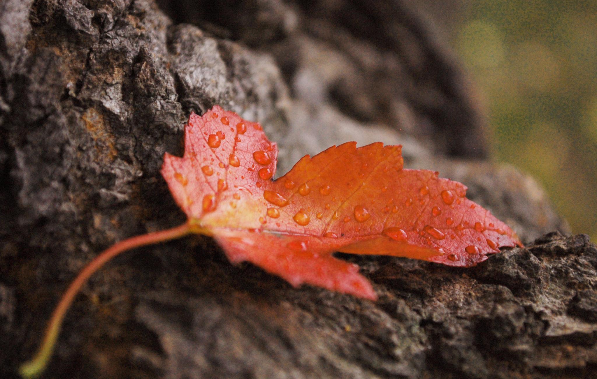 Photo in Nature #rain #leaf #red #wood #forest #macro #tree #autumn #bokeh #nikon #sun #light