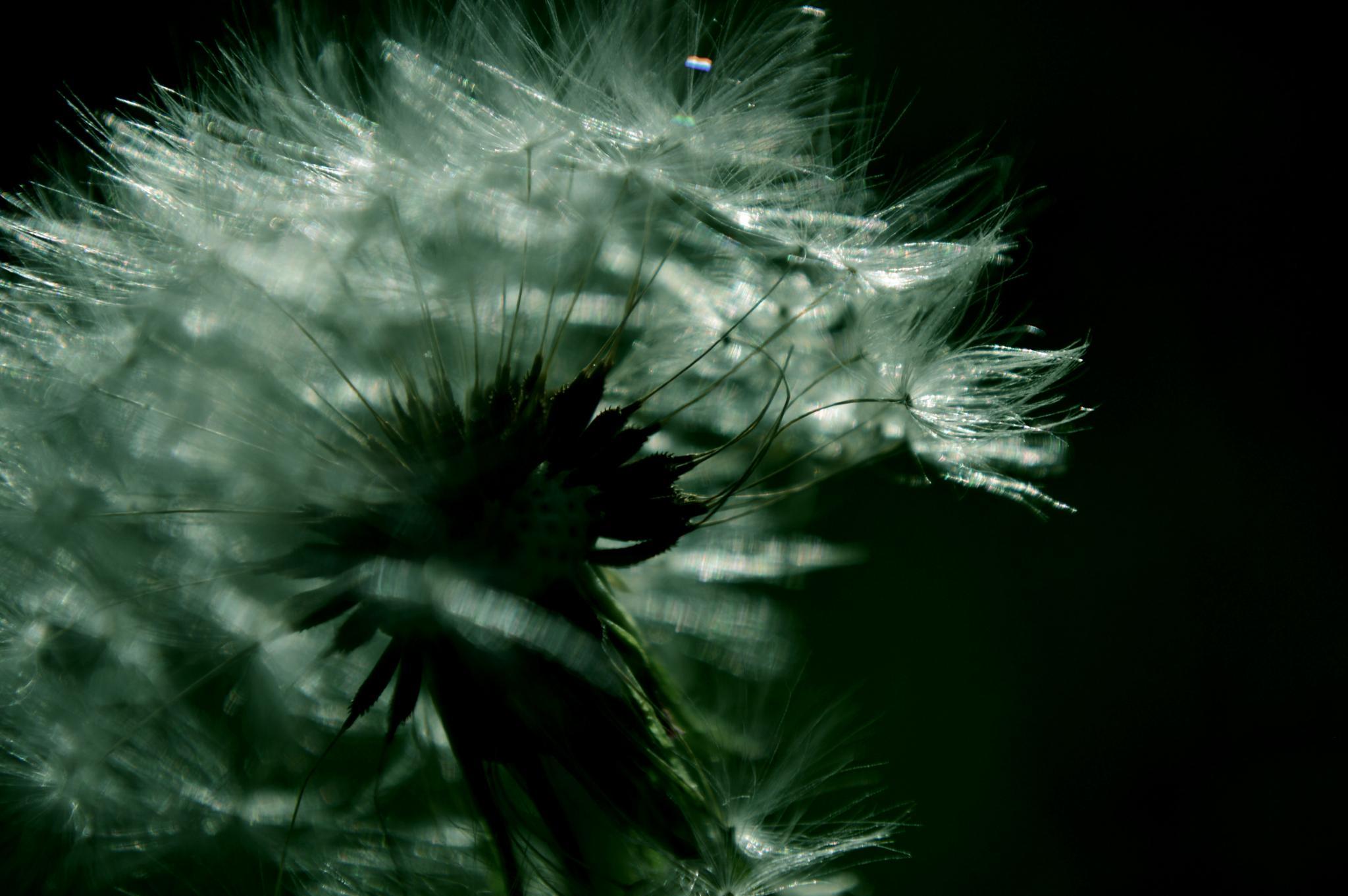 Ah..dramatic dandelion by Yoko D