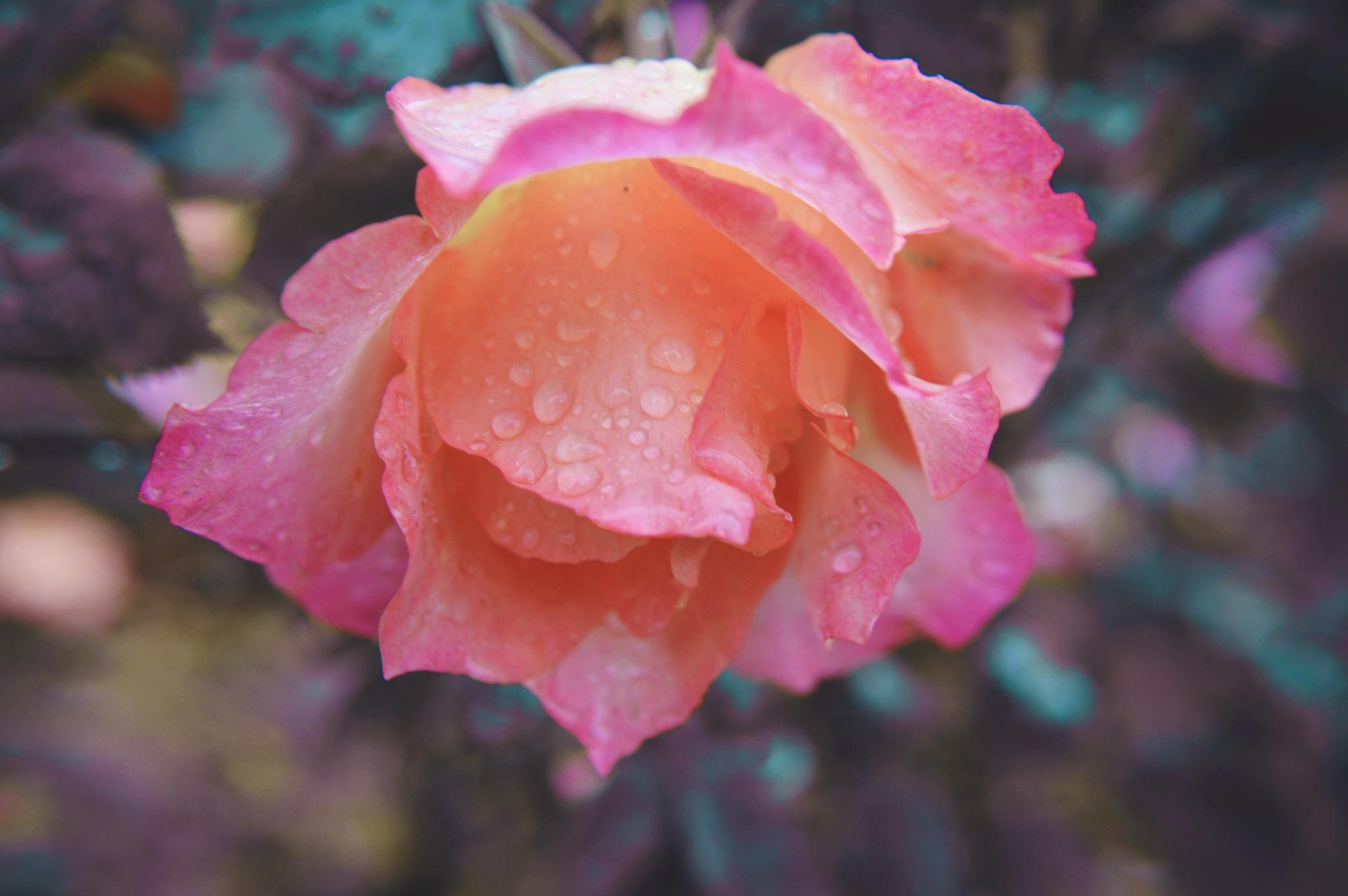 Ah..pink in rain by Yoko D