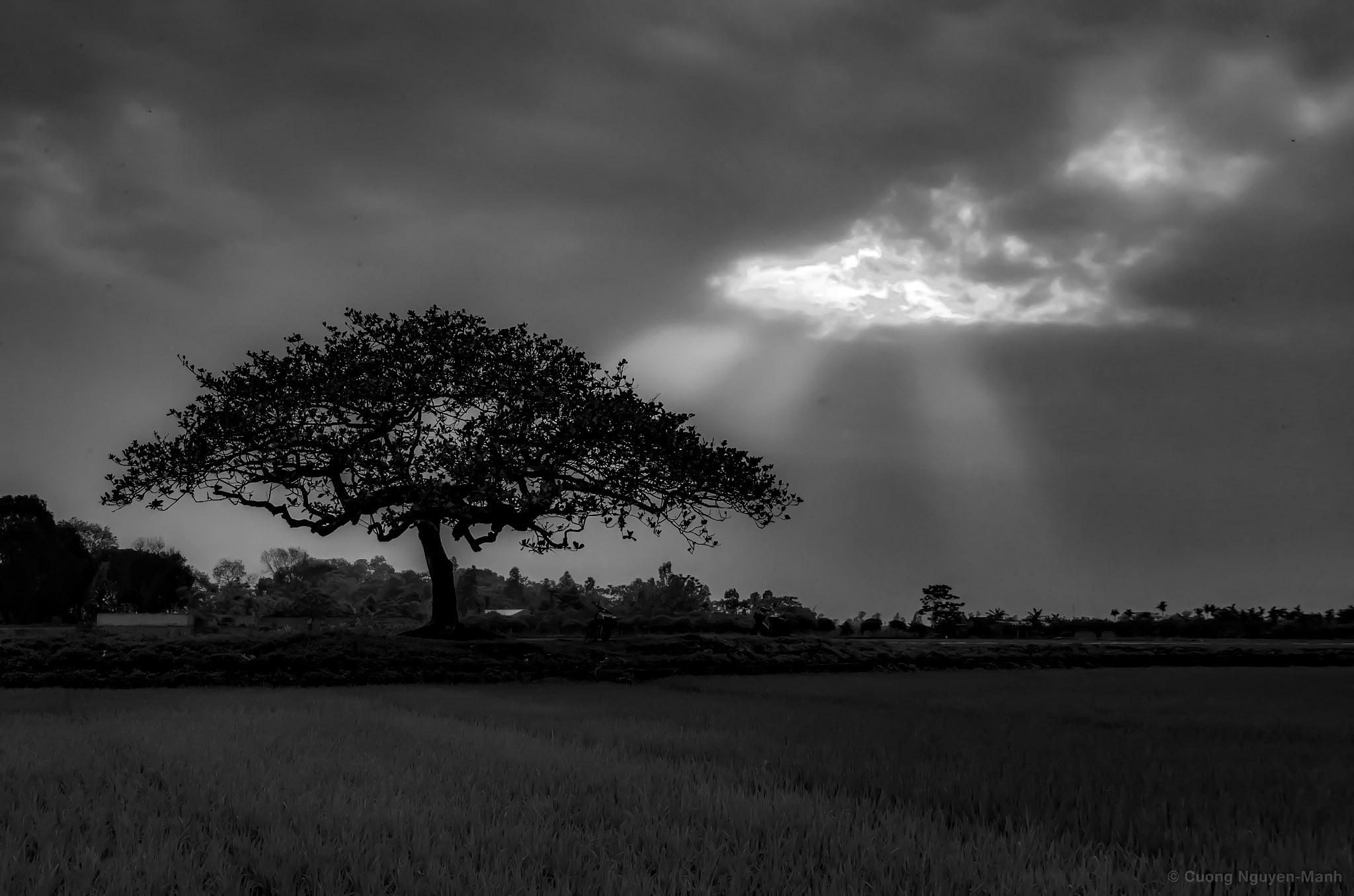 Lone tree by Cuong NM