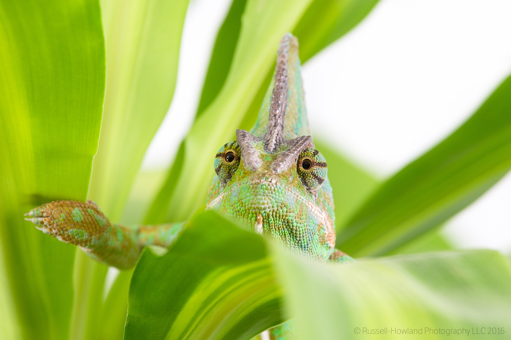 Veiled Chameleon by RussellHowlandPhotography