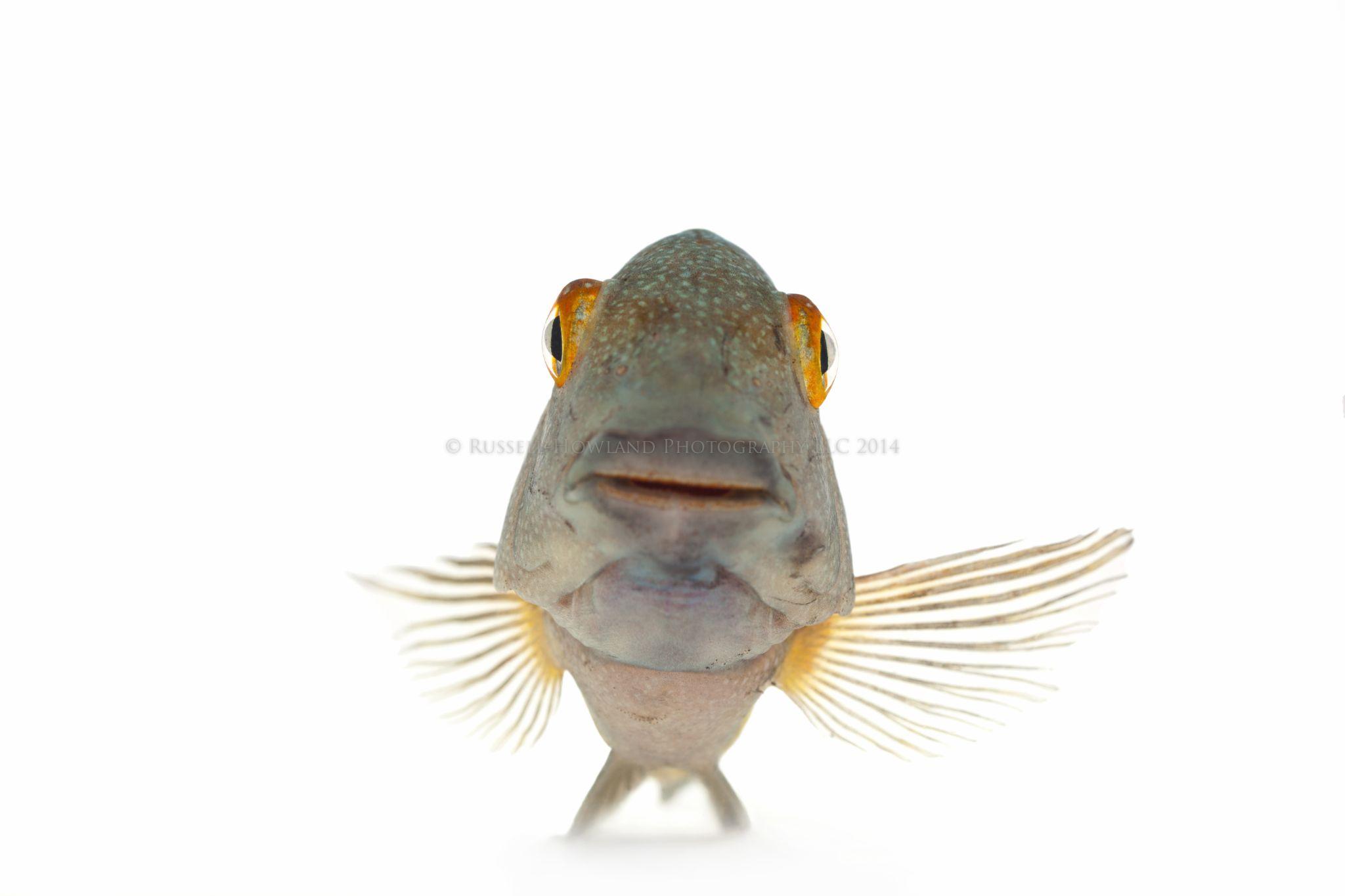 "African Cichlid - Tropheus Moorii ""Blunt-Head"" by RussellHowlandPhotography"