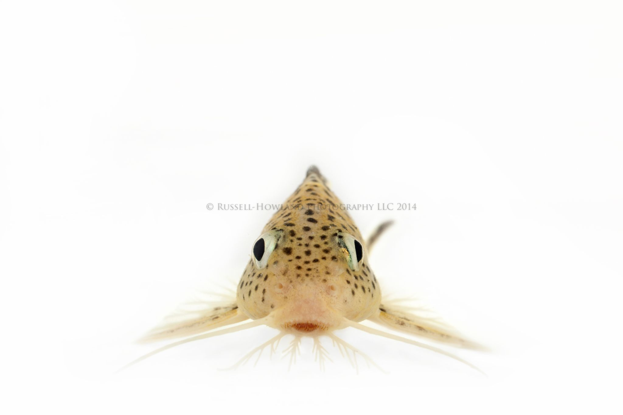 Synodontis by RussellHowlandPhotography