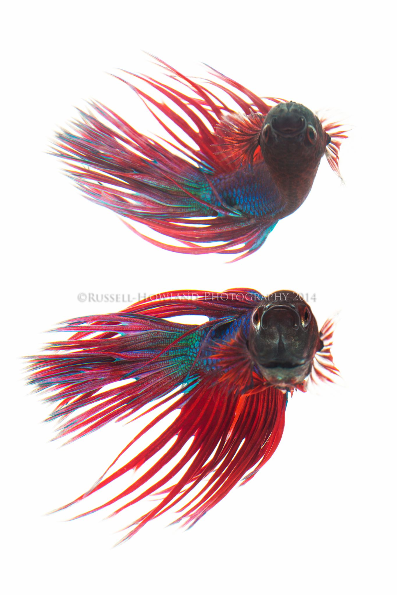 Crown tail (Male) Betta - Siamese Fighting Fish by RussellHowlandPhotography