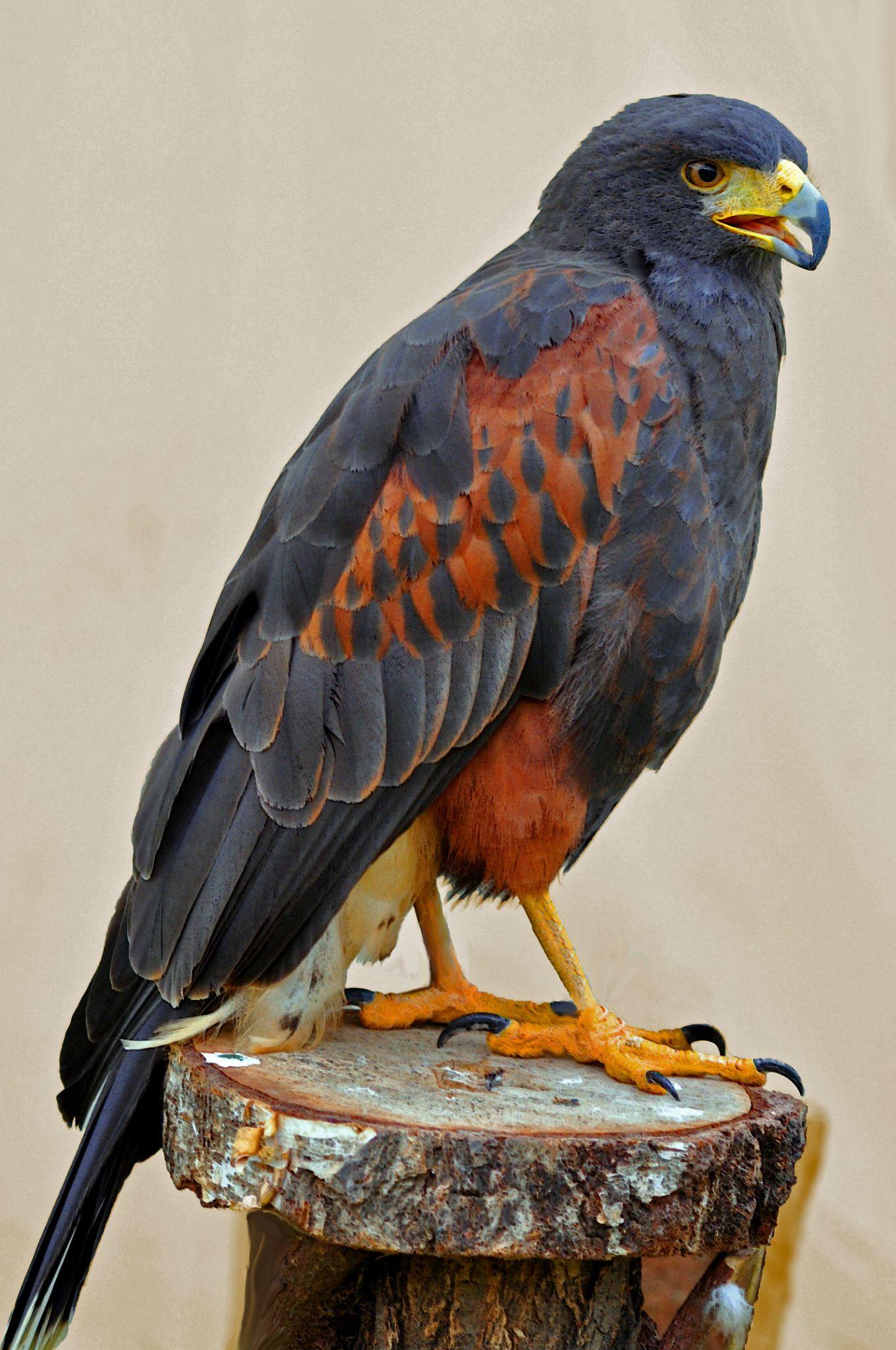 Harris' Hawk 1 by Marco Bertamé