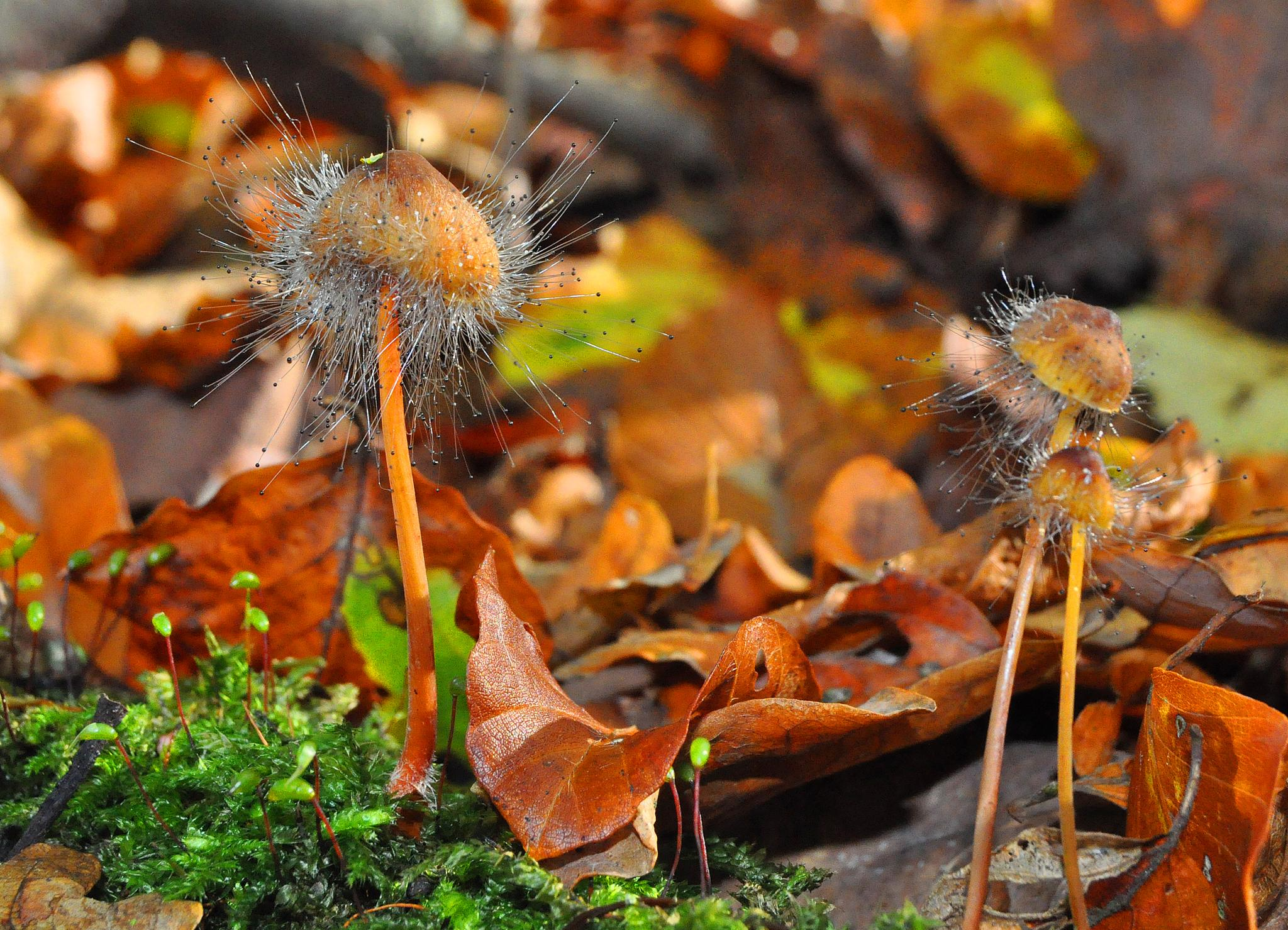 Photo in Nature #mushroom #mycena #leaves #hairy #mold #fall #autumn #forest