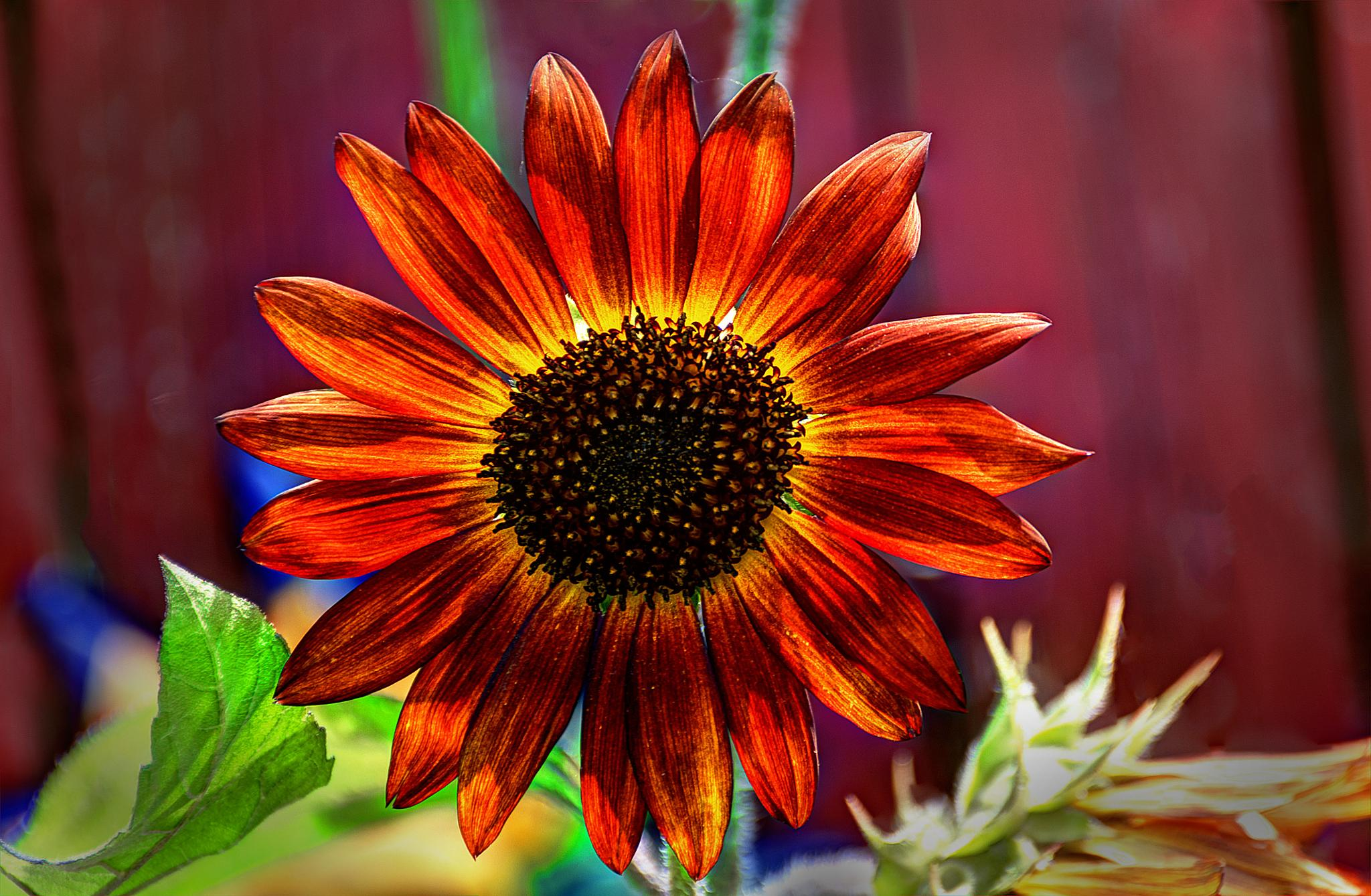 Fall Sunflower by J. Philip Larson Photography
