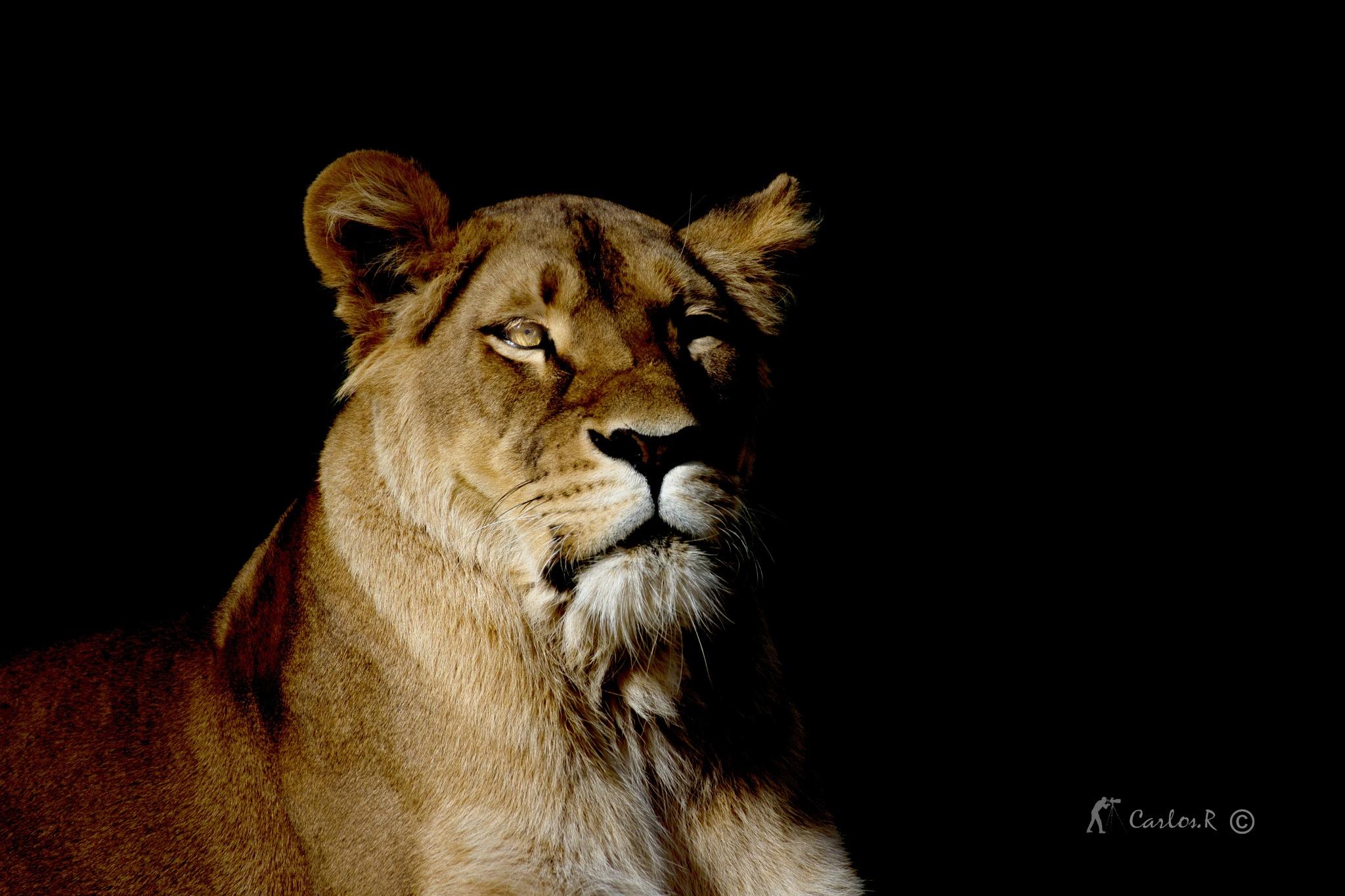 portrait d une lionne by carlosr