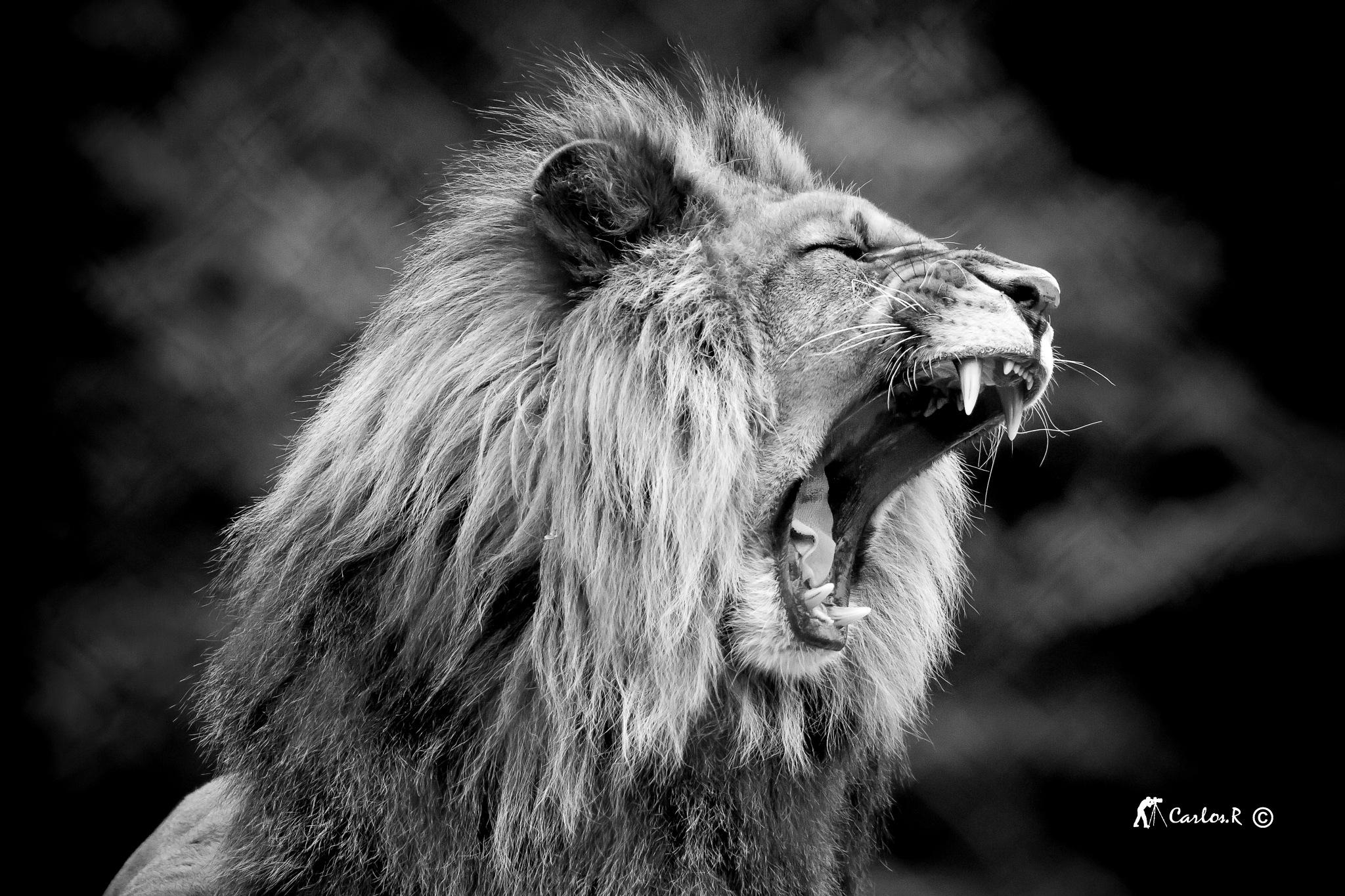 lion king by carlosr