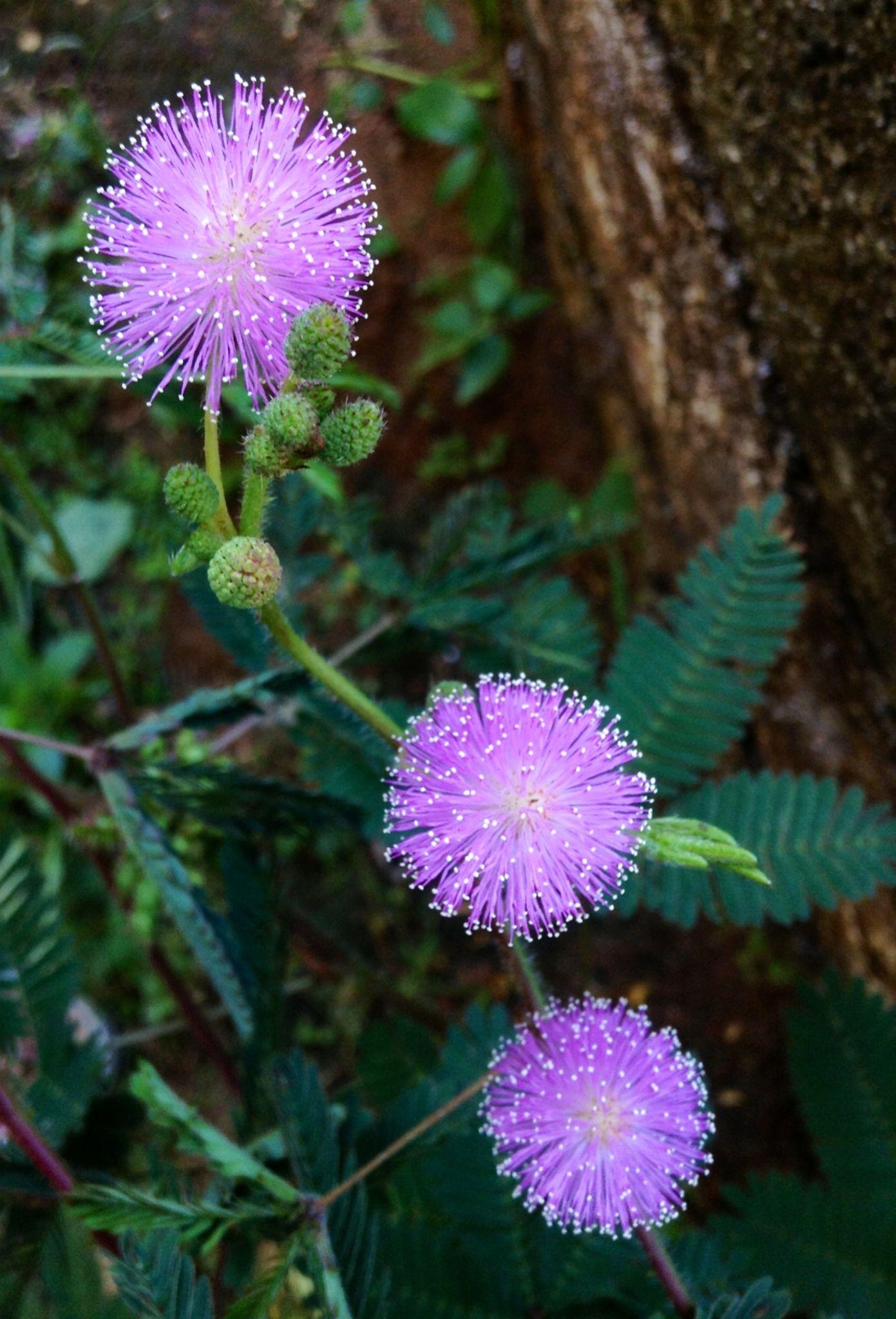 Shy Mimosa Pudica (Sensitive Plant) by Dickson Shia