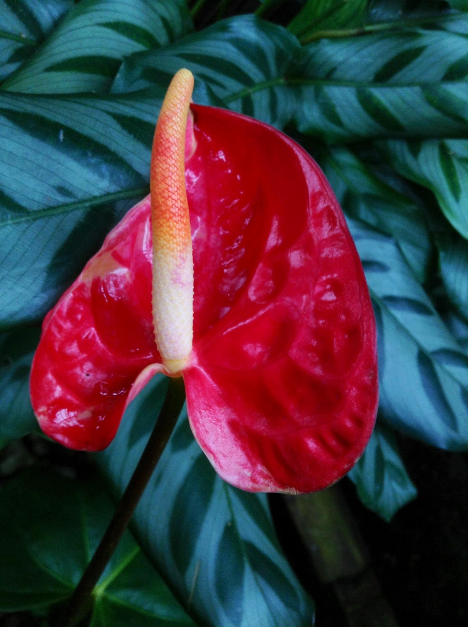 Dwarf Red Anthurium by Dickson Shia