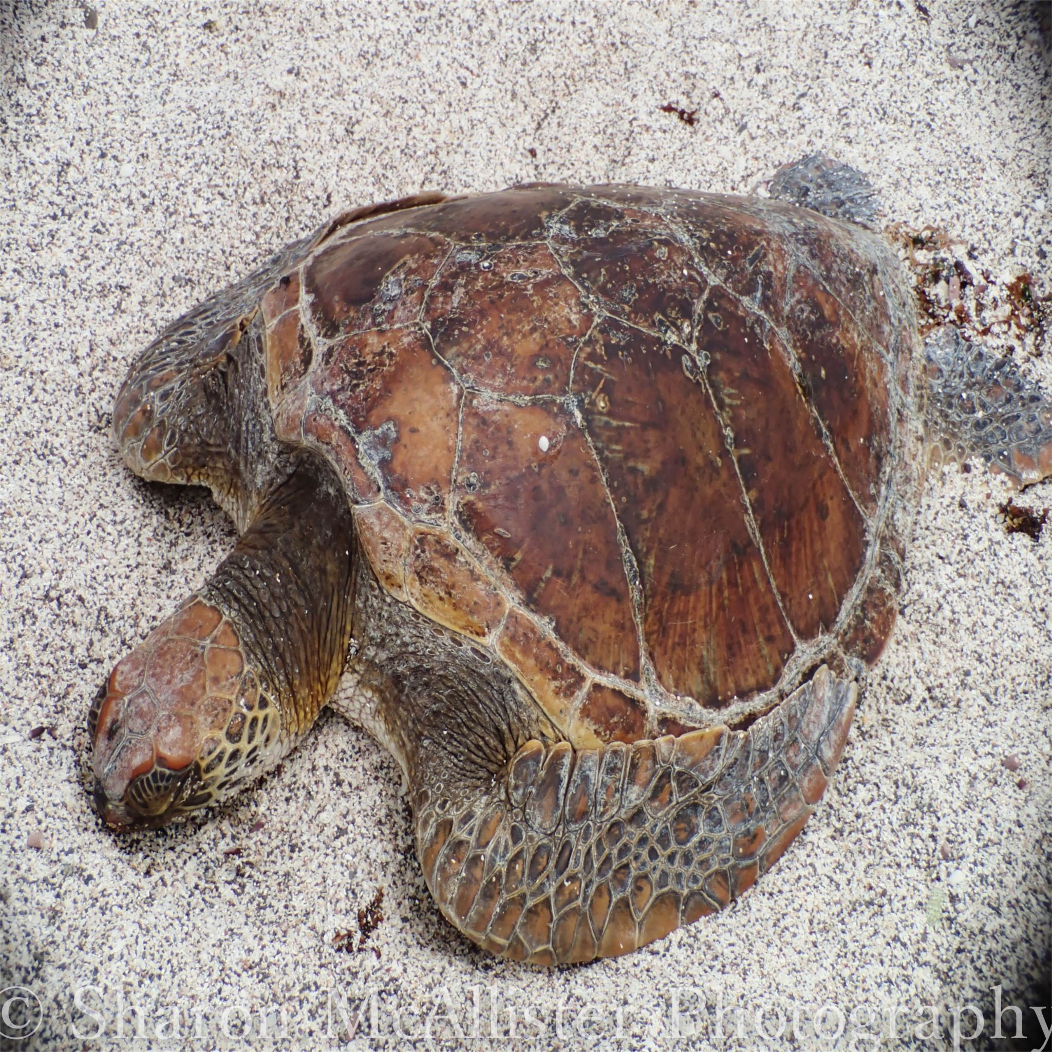 Turtle on a quiet Galapagos beach by Sharon McAllister