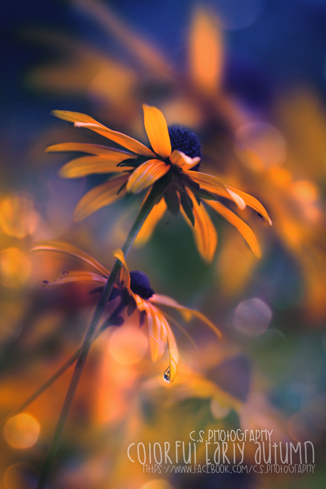 Colorful early Autumn Flower. by Chris S.