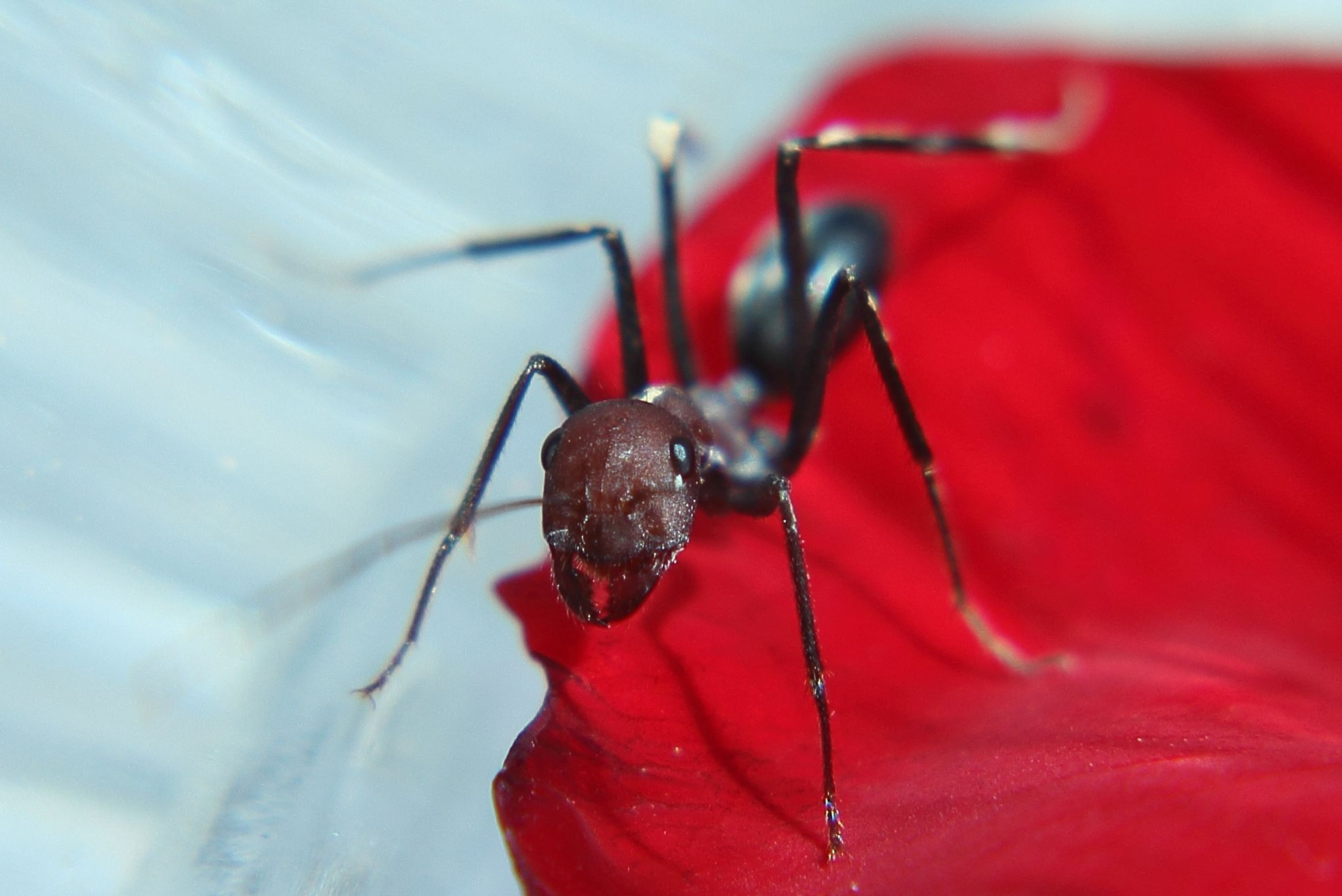 Ant in the red carpet by Jawid Wahidi