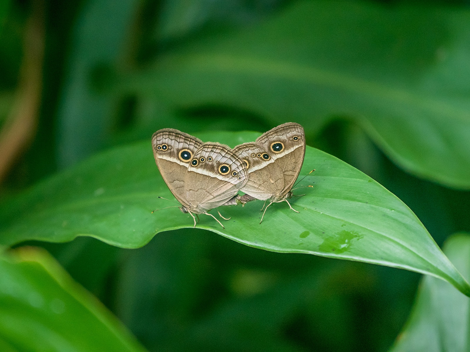 The Mating Butterflys by Dark Tower