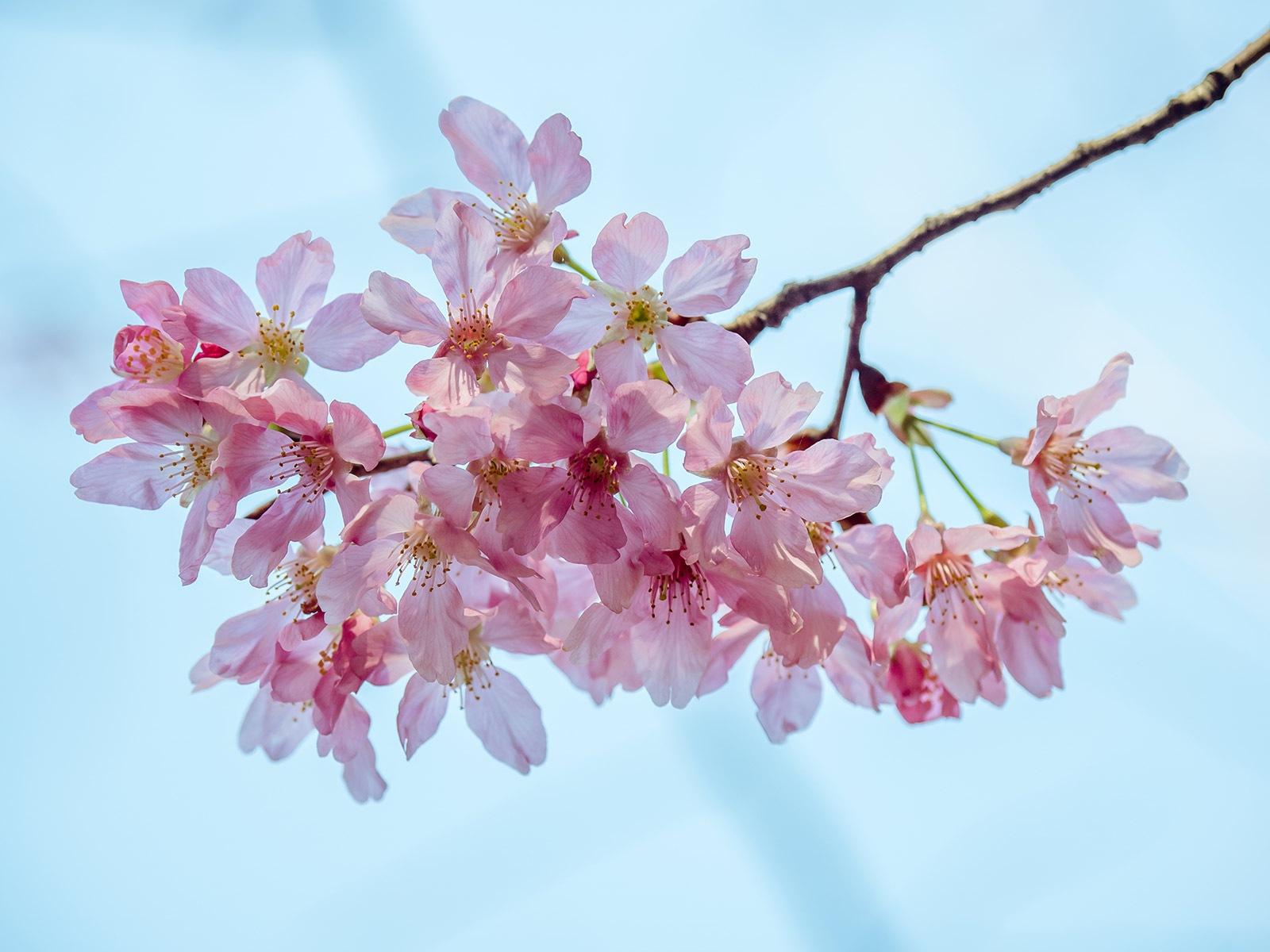 薄透粉櫻_Pink Sakura with thin flower petals by Dark Tower