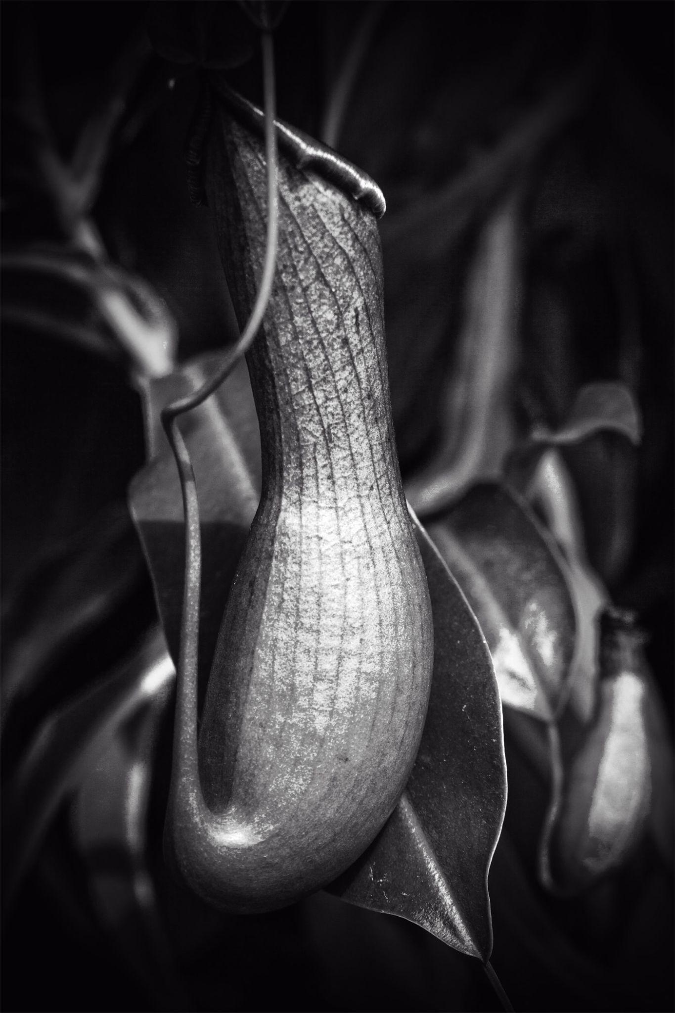 B & W Trumpet Plant by garyfhy