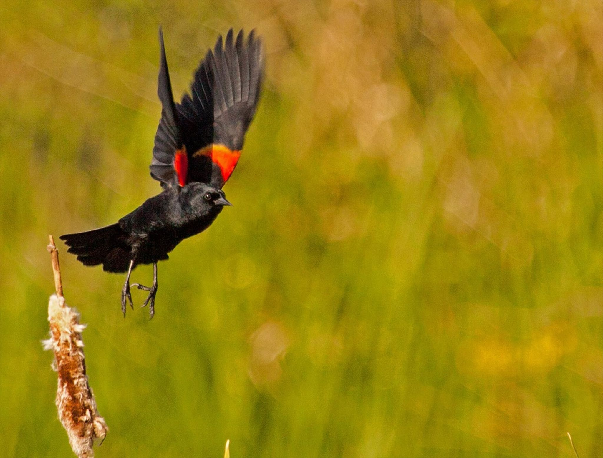 RED WING BLACKBIRD by garyfhy