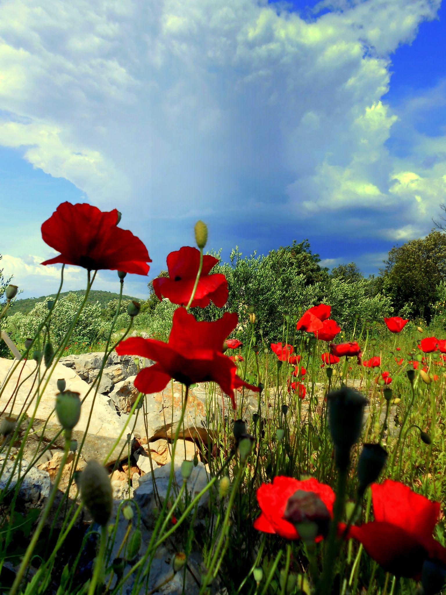 poppies  by meritta.glasnovich