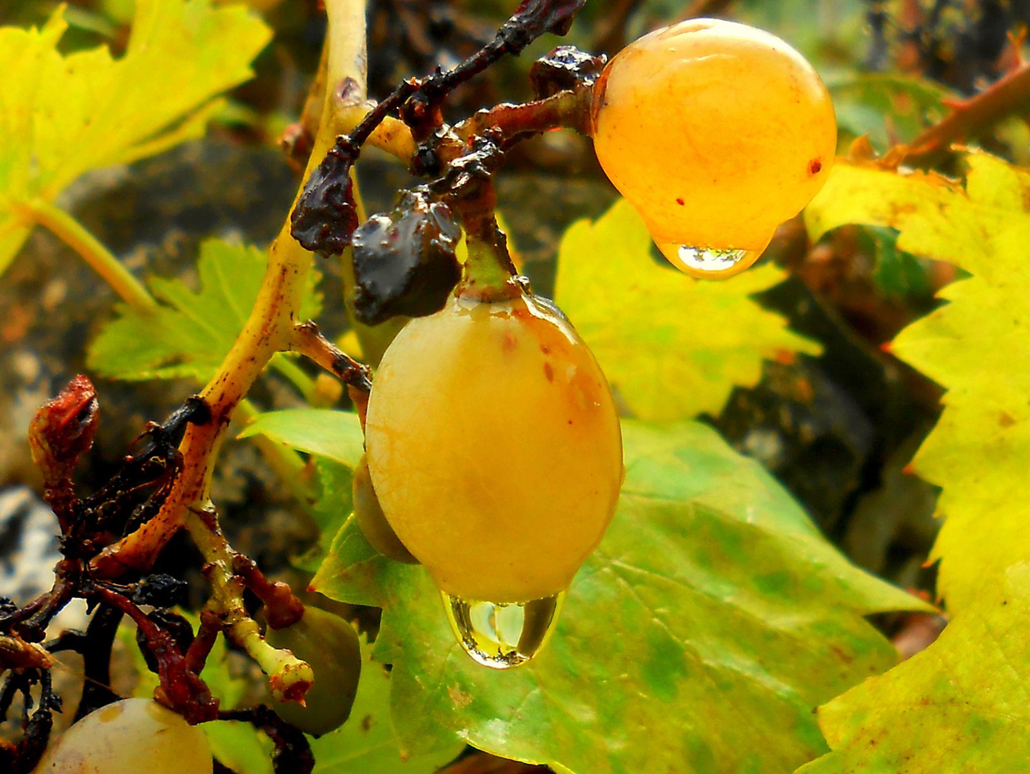 grain and drop of rain by meritta.glasnovich