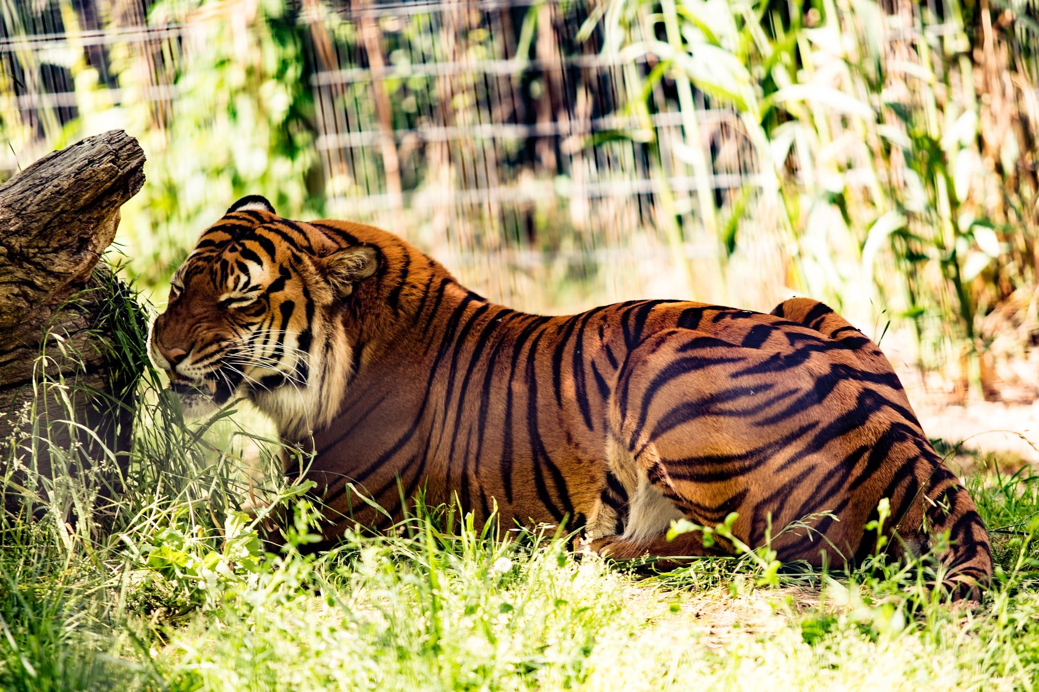 Photo in Random #tiger #zoo