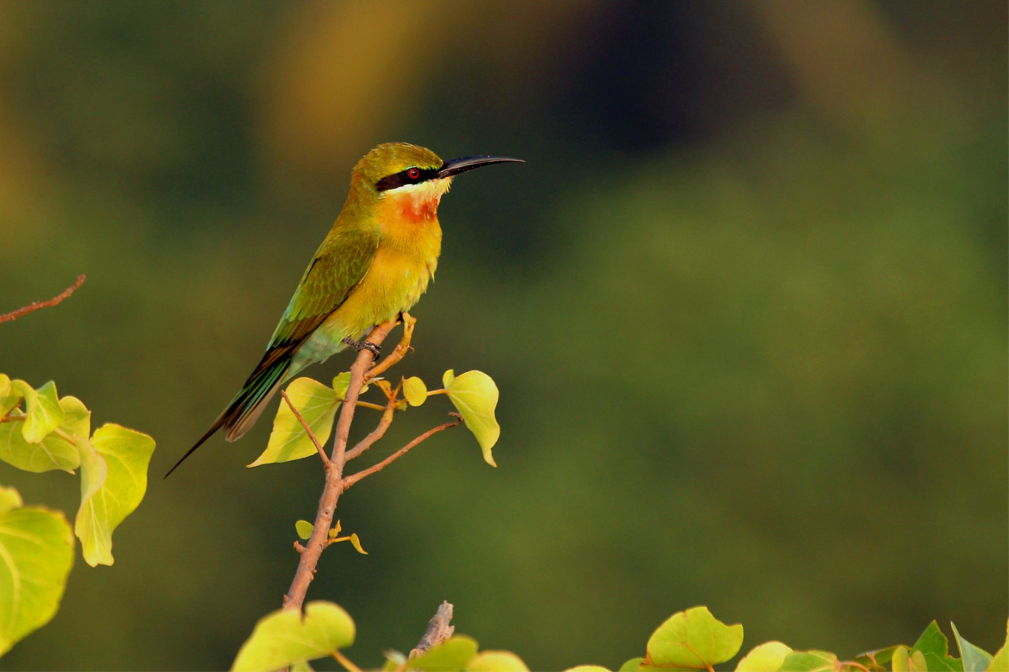 Blue tailed bee eater by nithyapurush