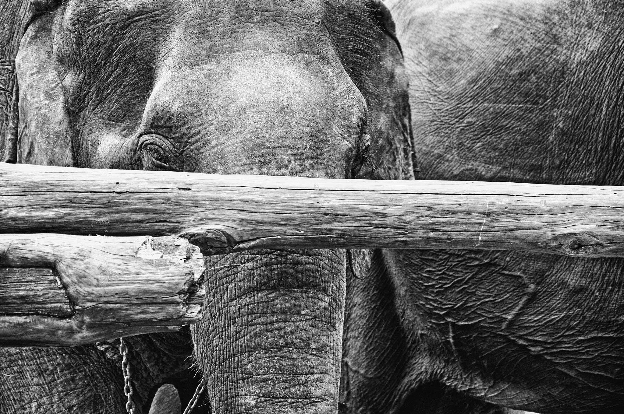 Photo in Animal #elephant #animal #blackwhite