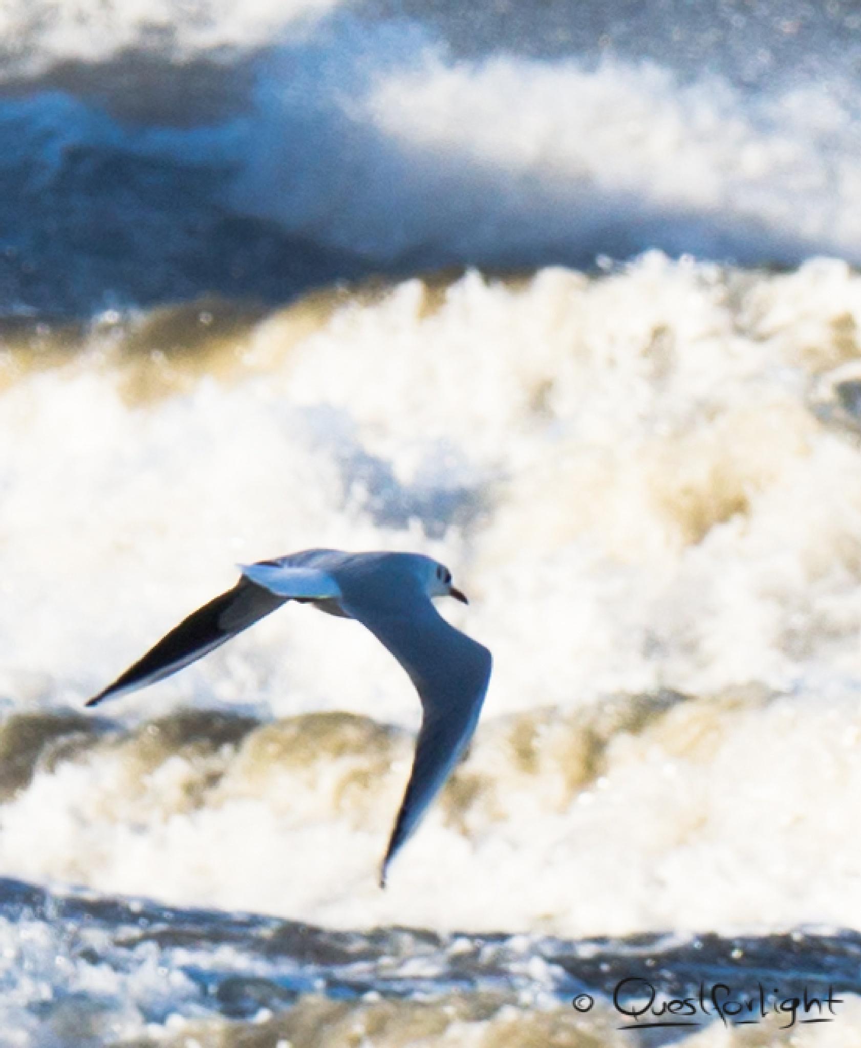 seagull by QuestForLight&LAS