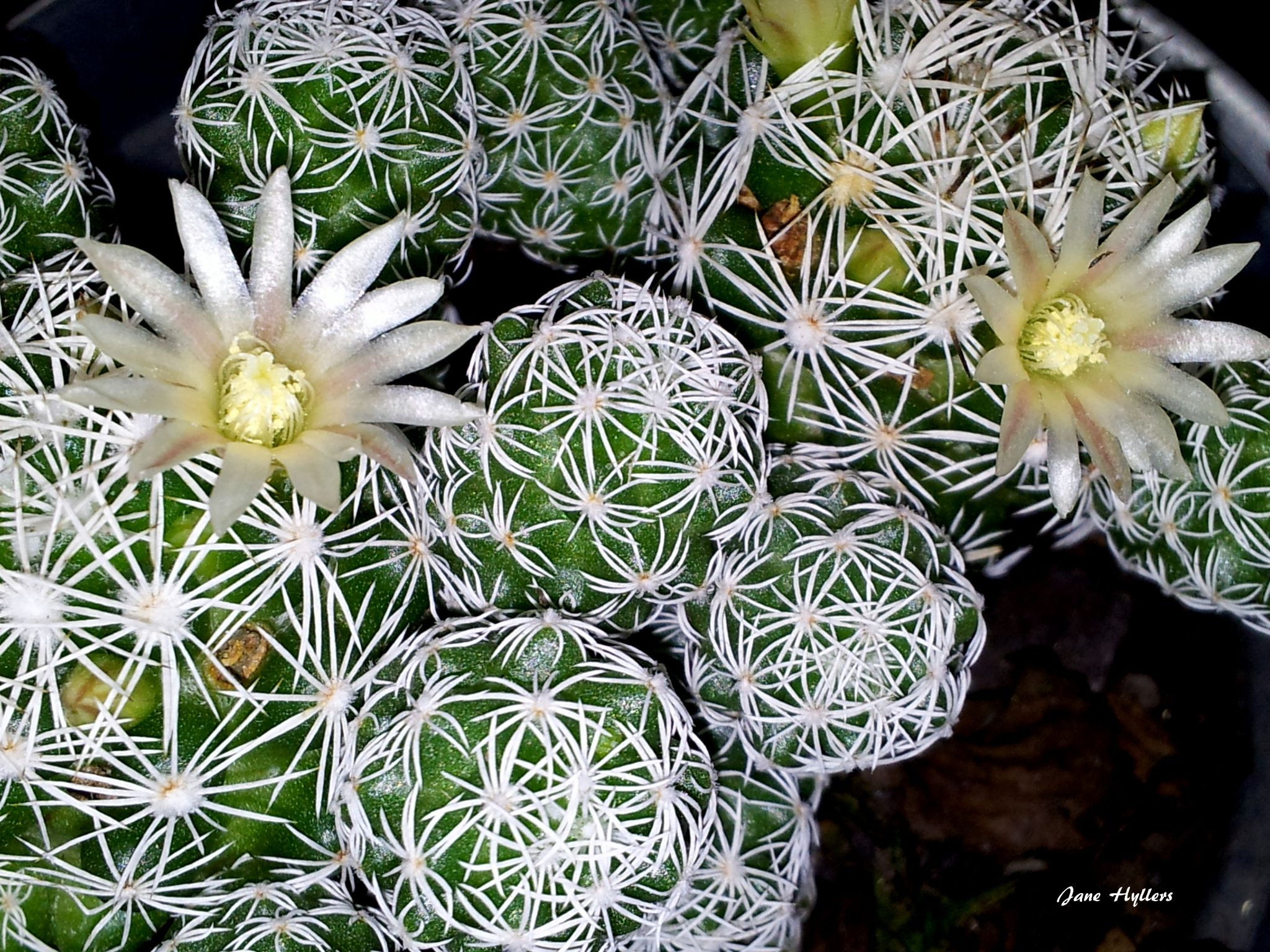 Cactos e flores by Jane Hyllers