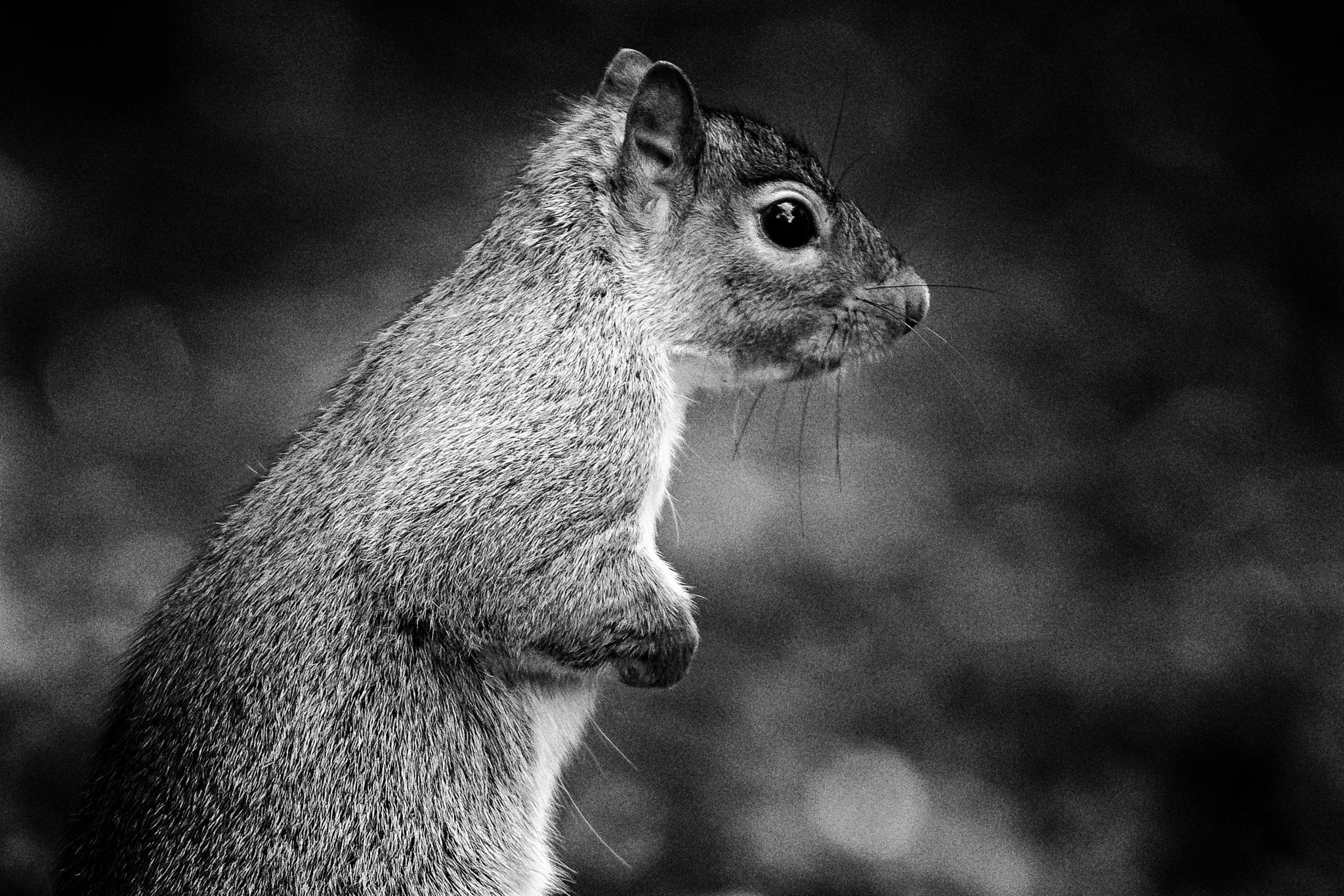 squirrel  by tyson4578