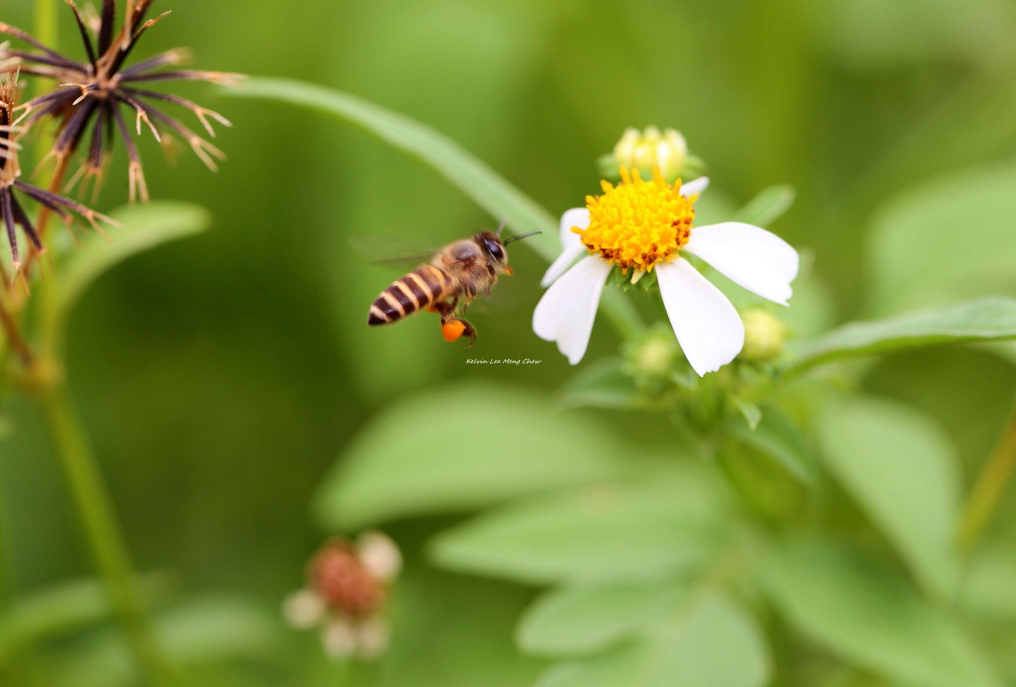 Bee by Kelvin Lee